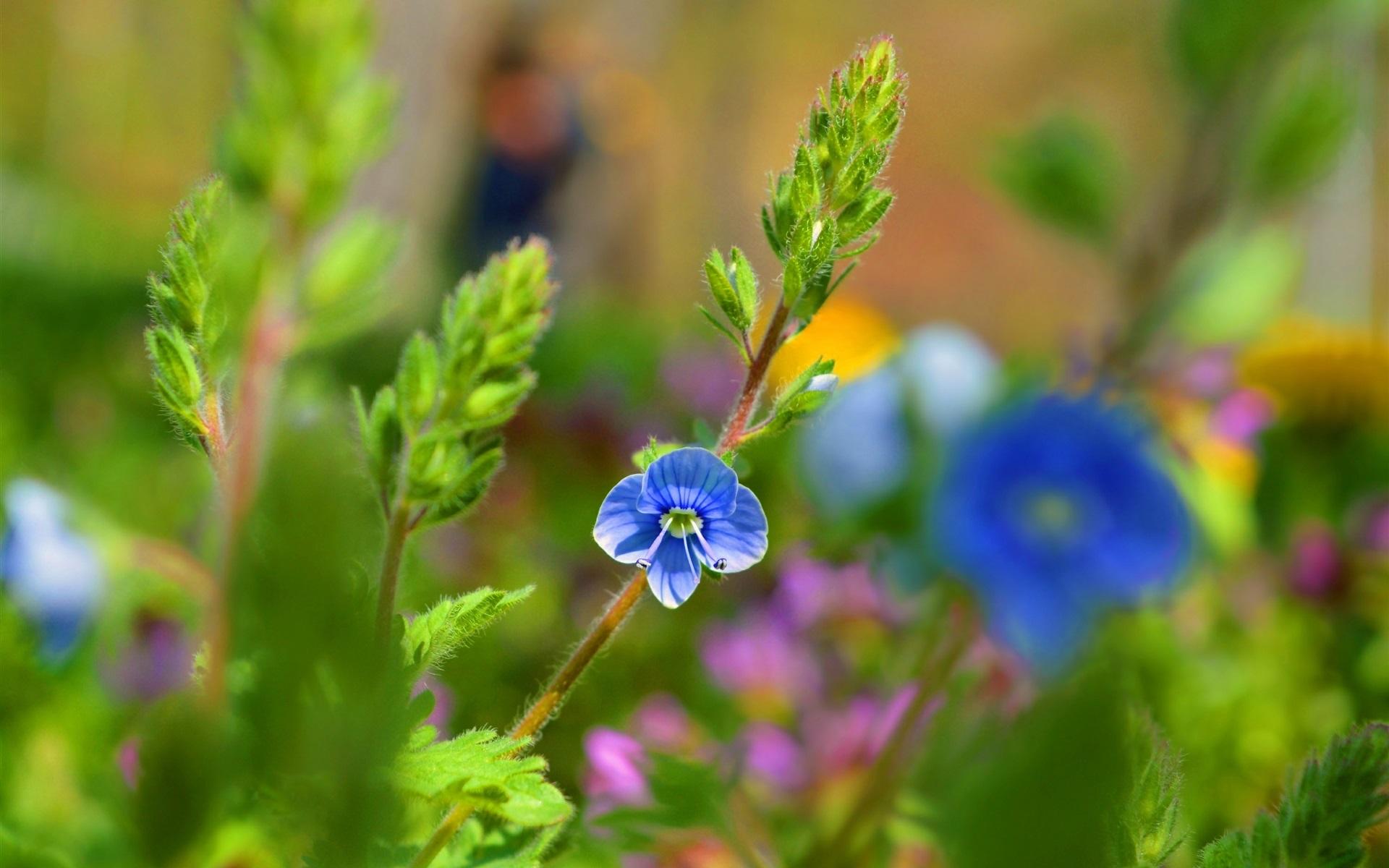 Hintergrundbilder Blaue Blume: Blaue Blume, Pflanzen 2880x1800 HD Hintergrundbilder, HD, Bild