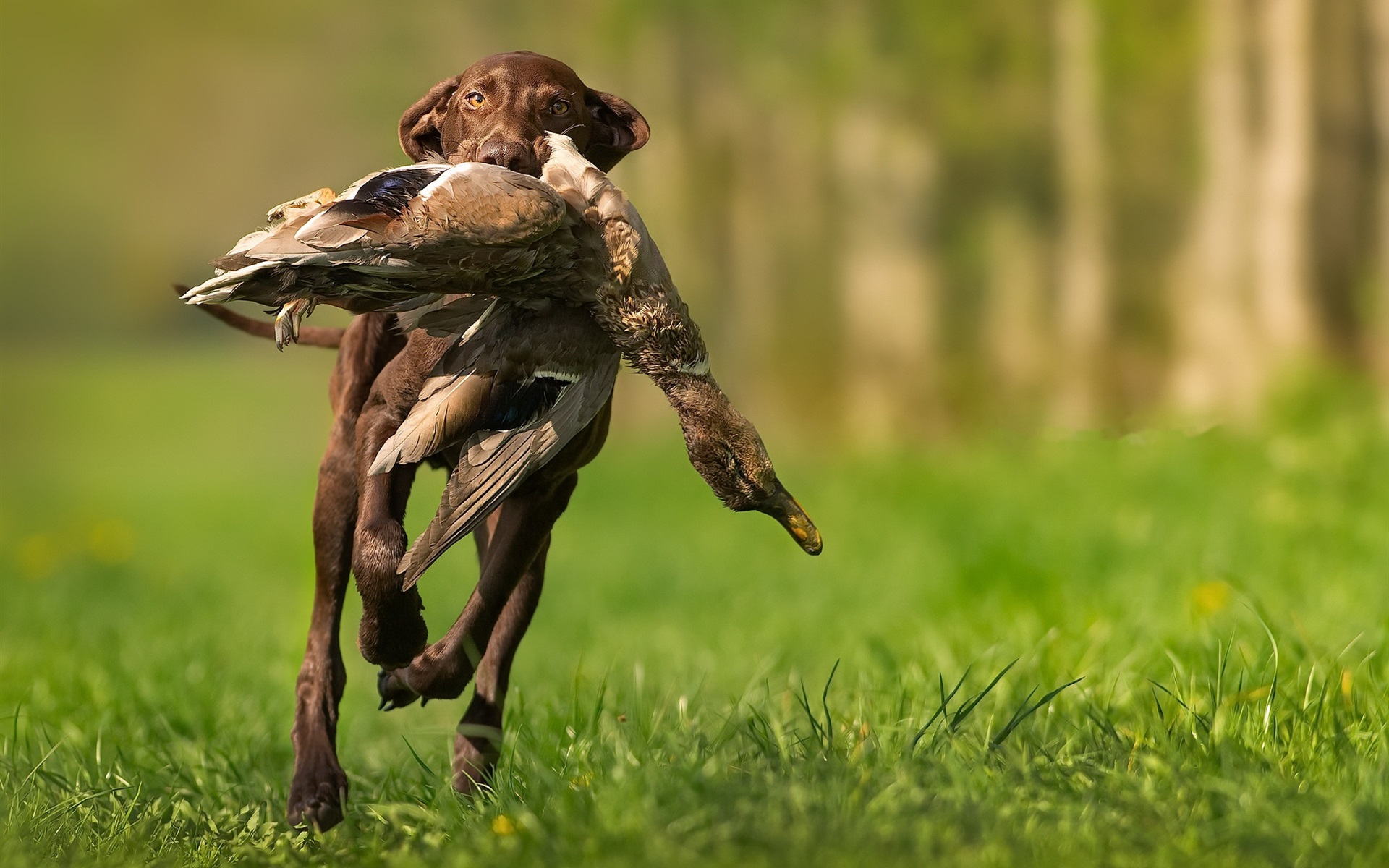 Dog hunting a duck 1920x1200 HD Picture