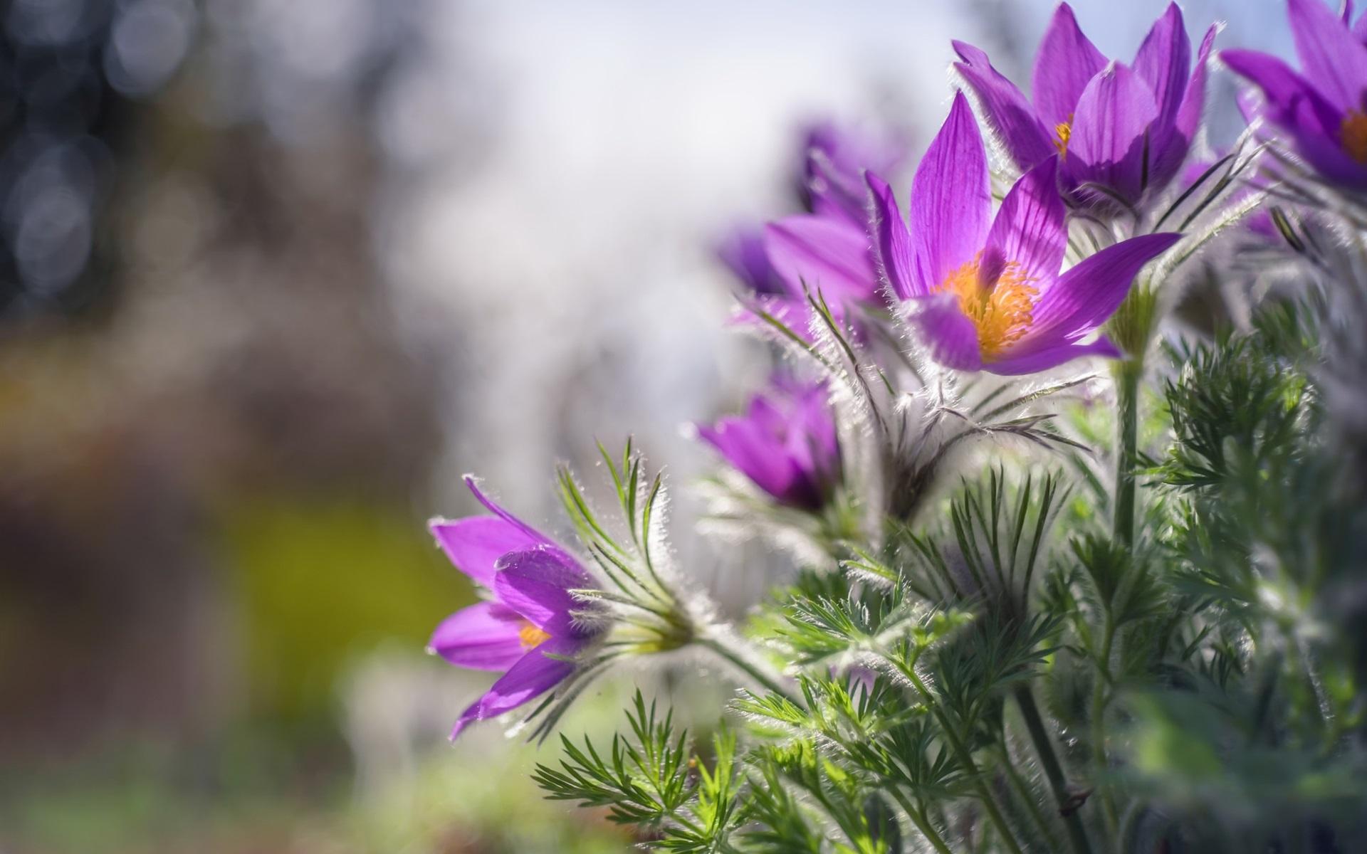 Wallpaper Sleep Grass Spring Purple Flowers 1920x1200 Hd Picture Image