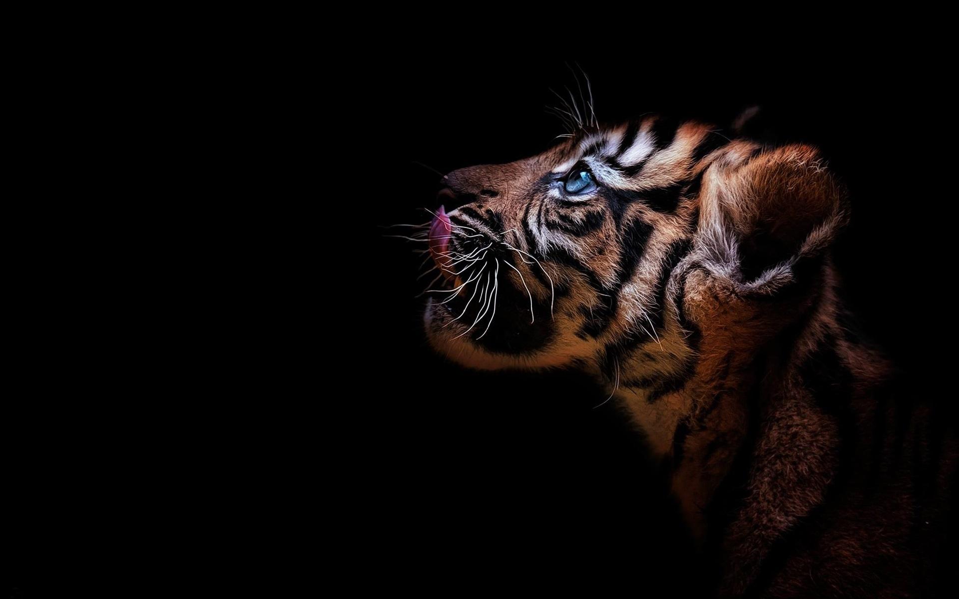 мытья картинка тигренок на черном фоне разведения