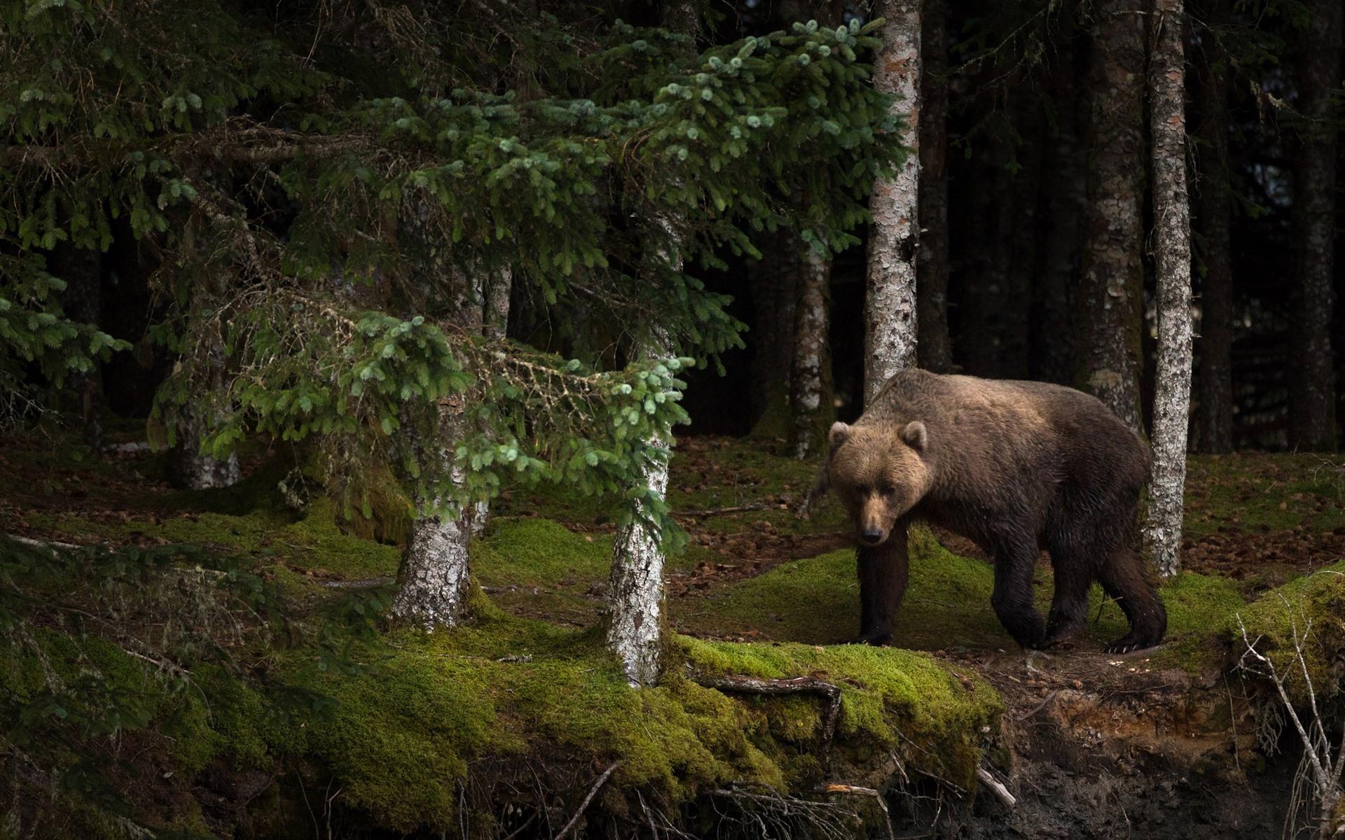 одной картинки на телефон медведи в лесу принимай необдуманных решений