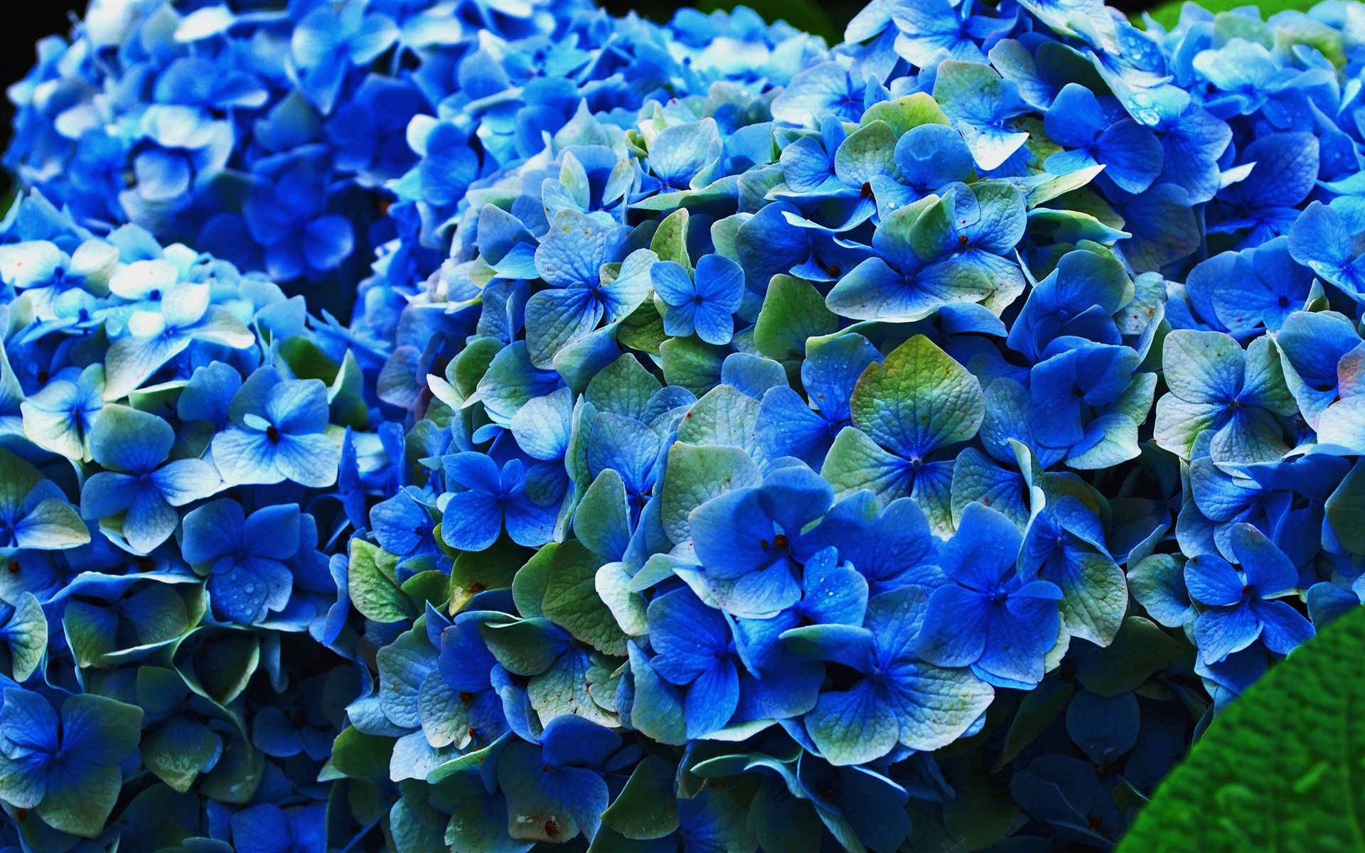 Fondos De Pantalla Iphone 7 Plus: Hortensia Azul, Flores, Floración 1080x1920 IPhone 8/7/6