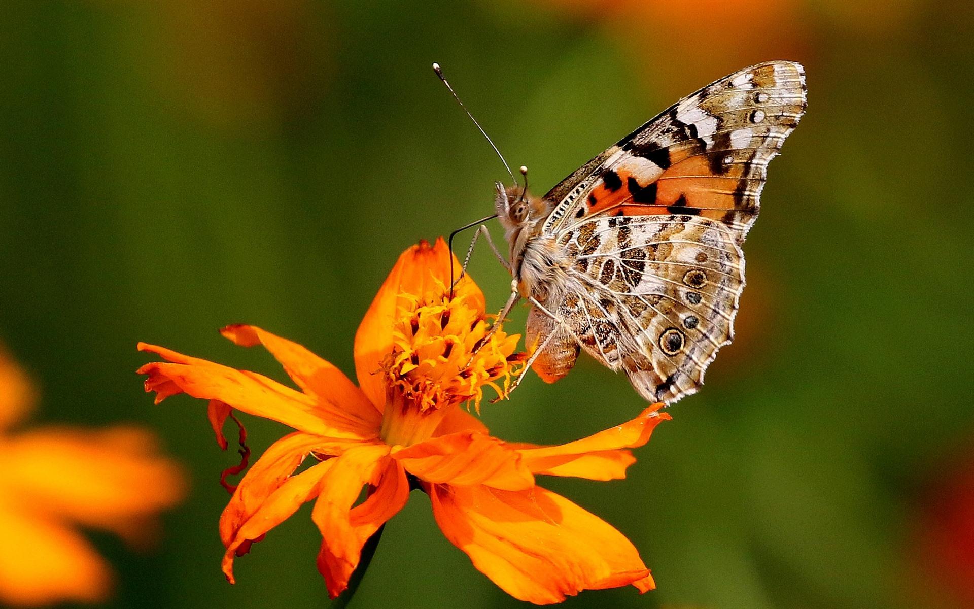 Wallpaper Orange flowers and butterfly 1920x1200 HD ...