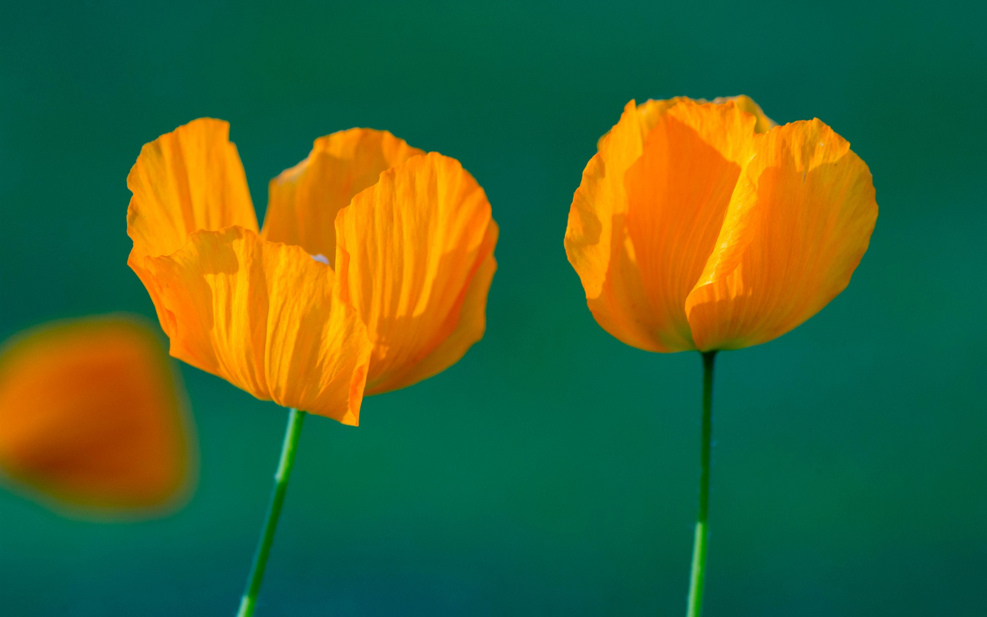 Wallpaper Orange Poppy Flowers Stem 1920x1200 Hd Picture Image