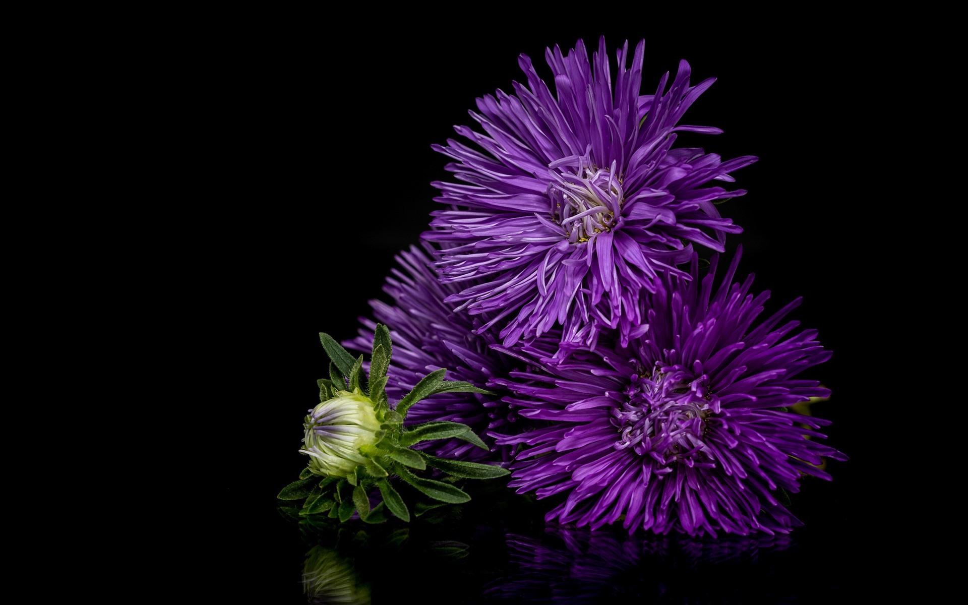 Wallpaper Purple Flowers Asters Black Background 1920x1200 Hd