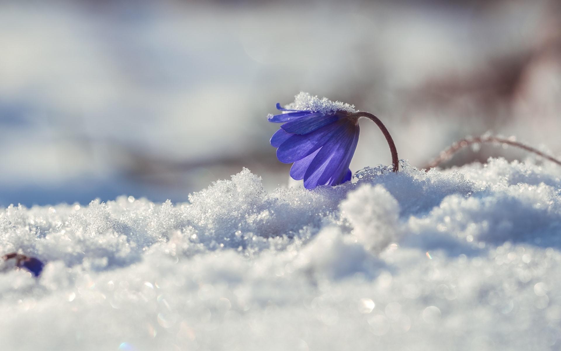 Wallpaper Blue Flower Primrose Snow Winter 1920x1200 Hd