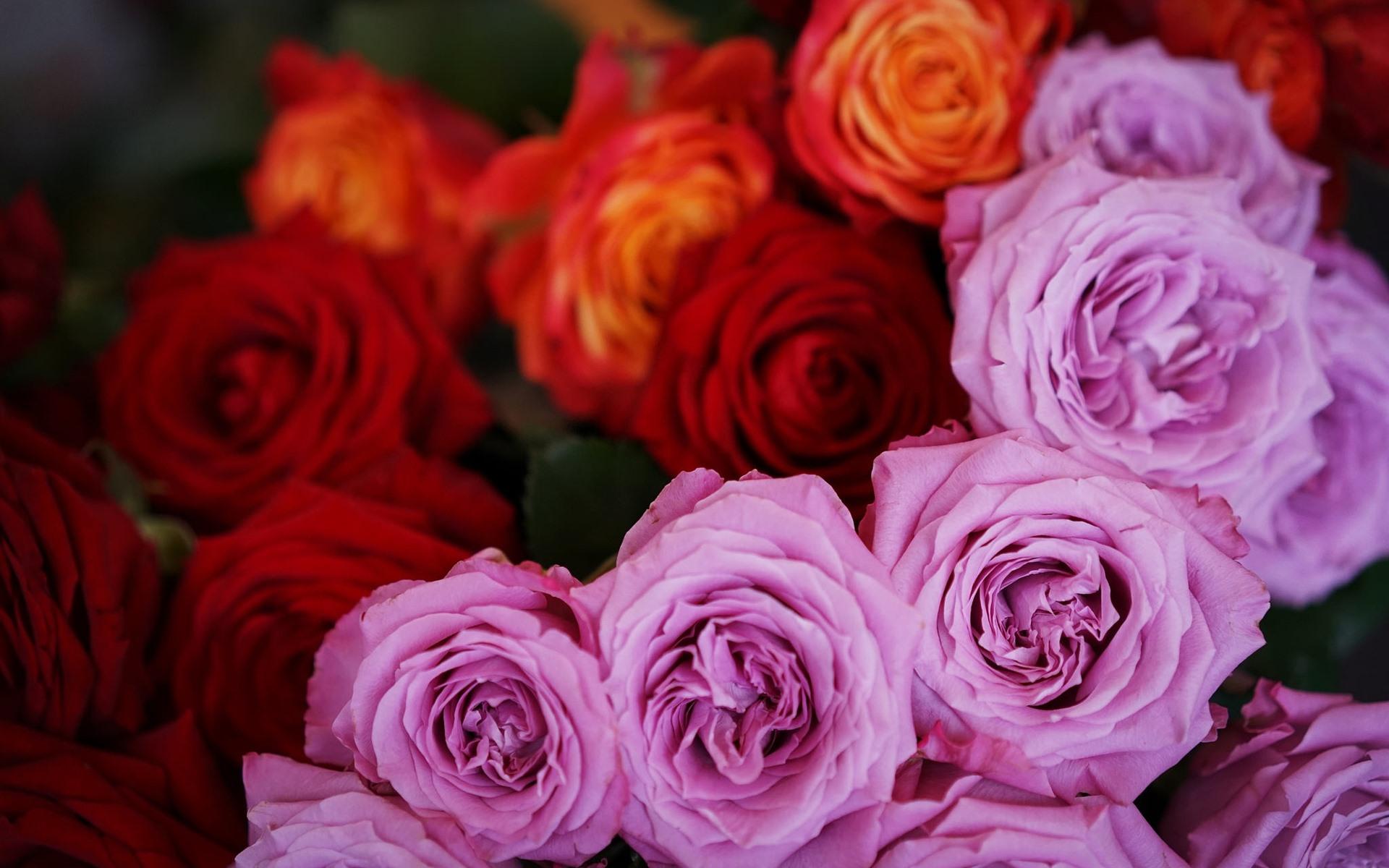 розы цветы фото большие большого разрешения этом