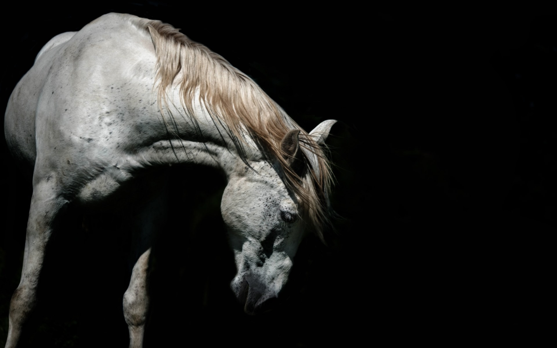 Wallpaper White Horse Head Black Background 1920x1200 Hd Picture Image