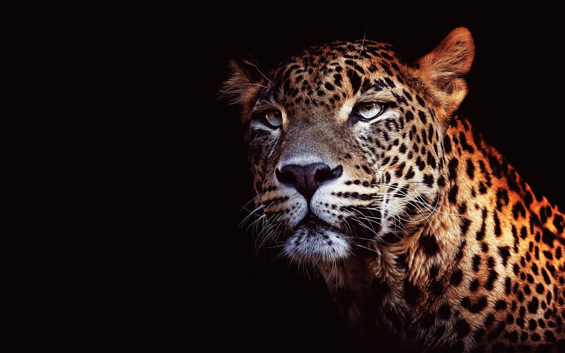 Leopardo fondo negro