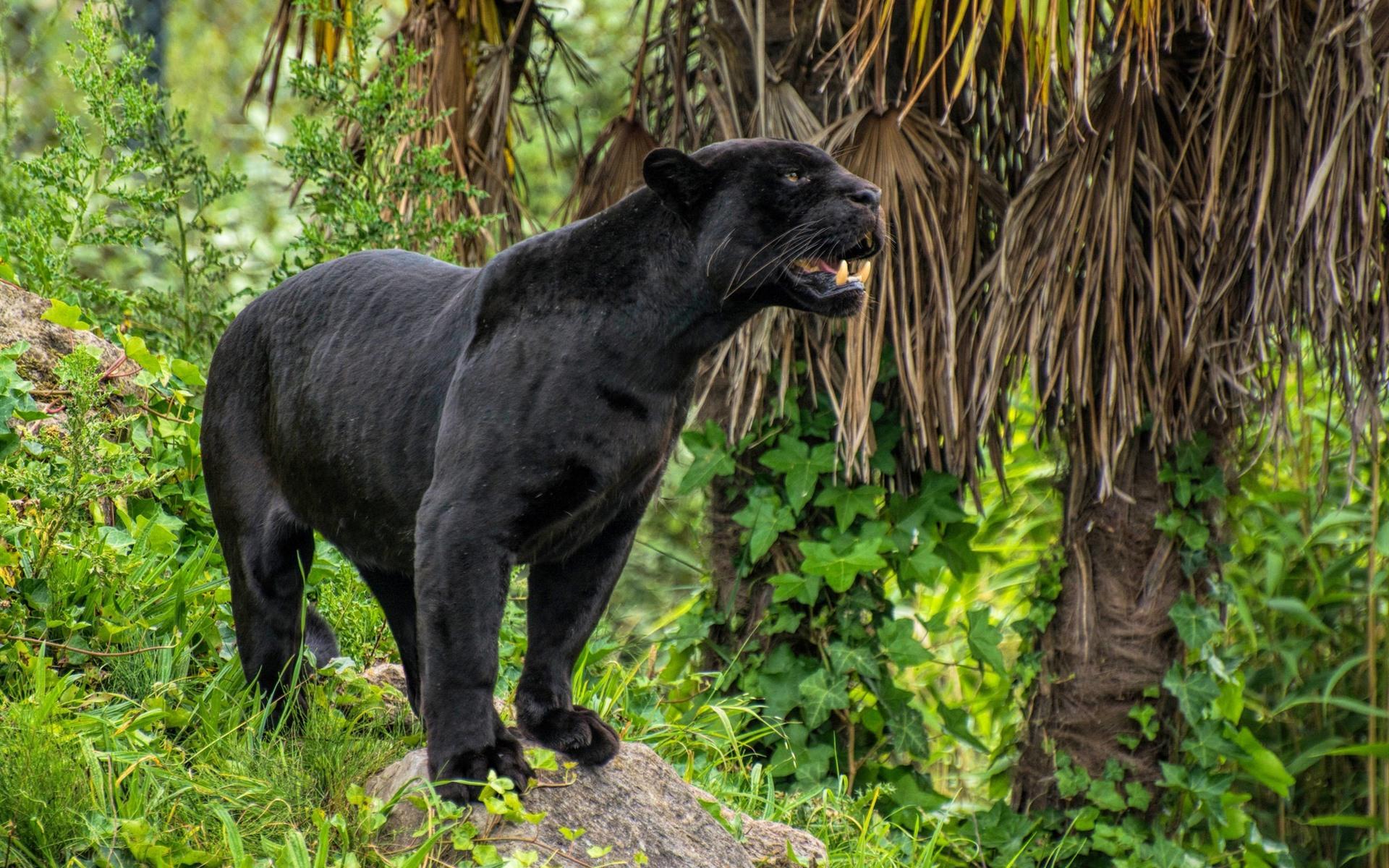 Картинки джунгли с пантерами