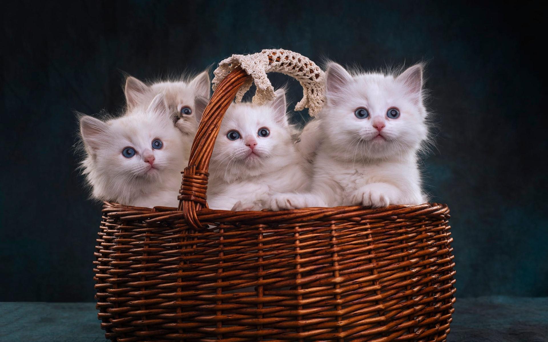 картинки с четырьмя котятами чехол нейлона