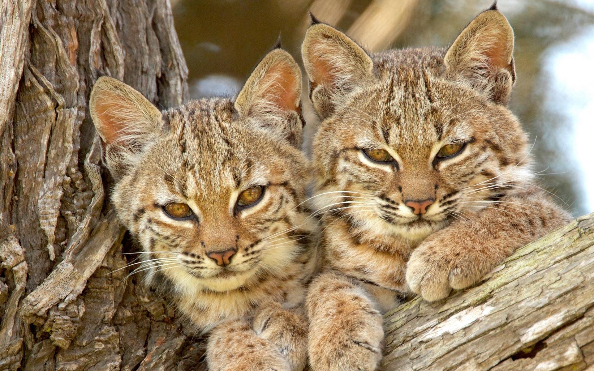 того чтобы картинки красивые про кошек рыси рекомендуют