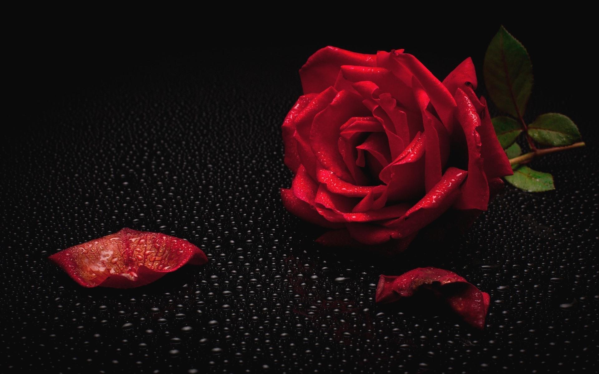 картинка роза на черном фоне с лепестками