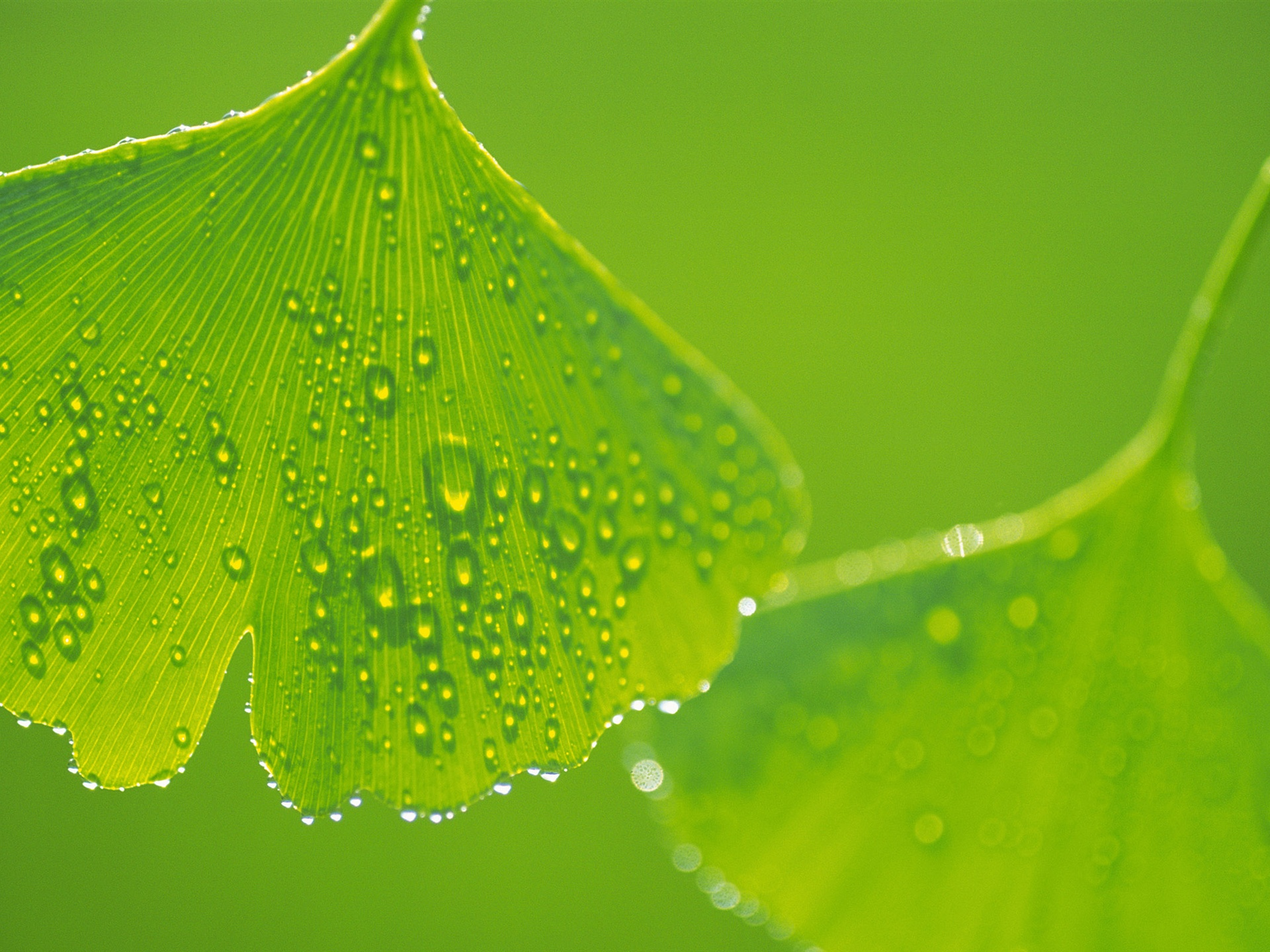 Ginkgo leaves with water drops close-up wallpaper - 1920x1440