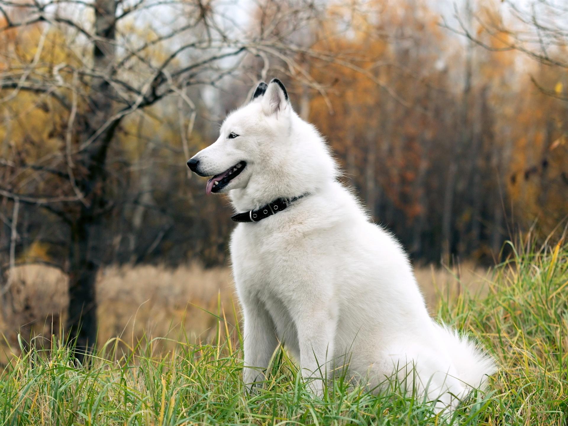 Perro husky en la hierba Fondos de pantalla 1920x1440