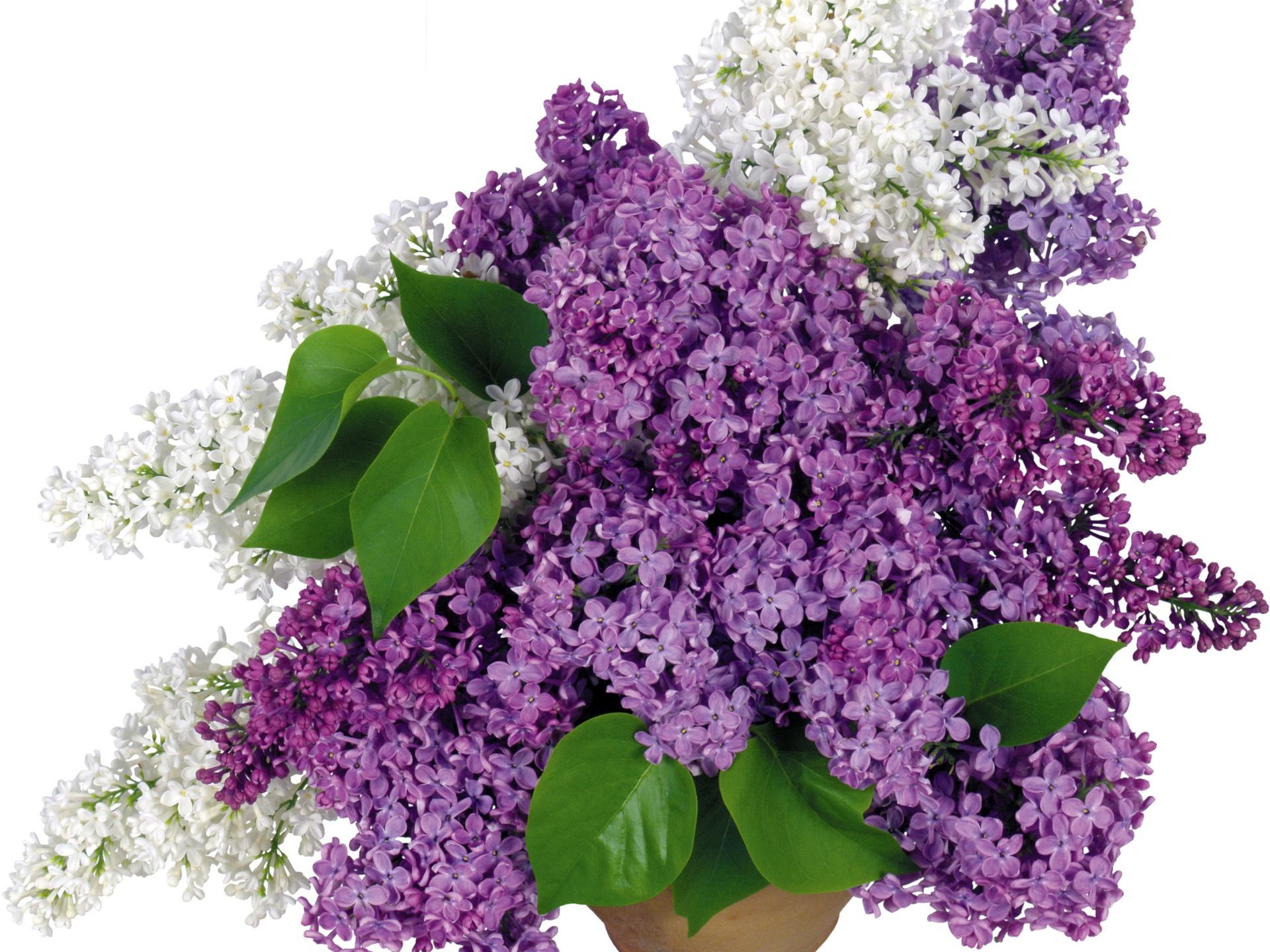 Lilac flowers Wallpaper resolution wallpaper