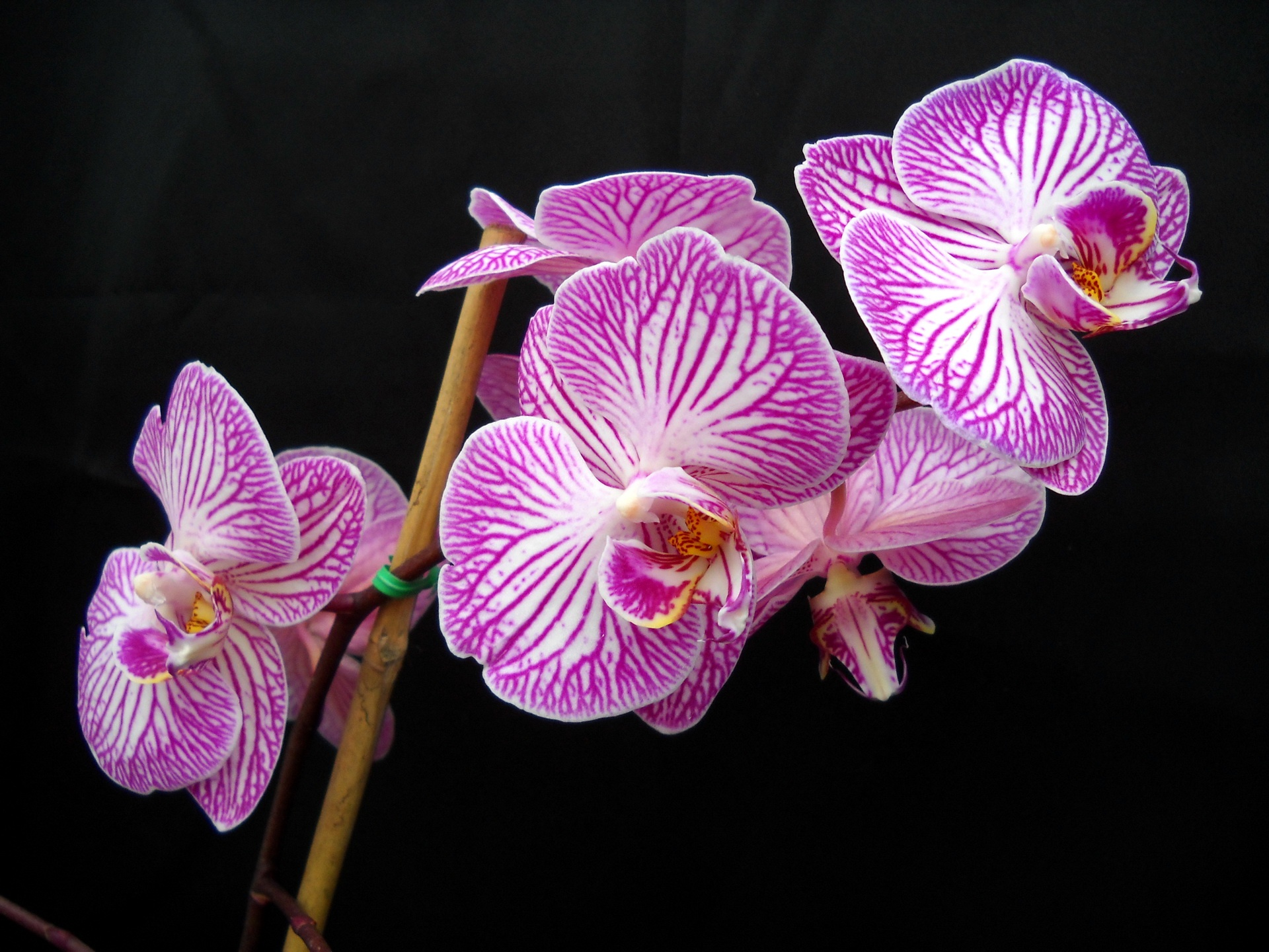 Purple Phalaenopsis close photography wallpaper - 1920x1440
