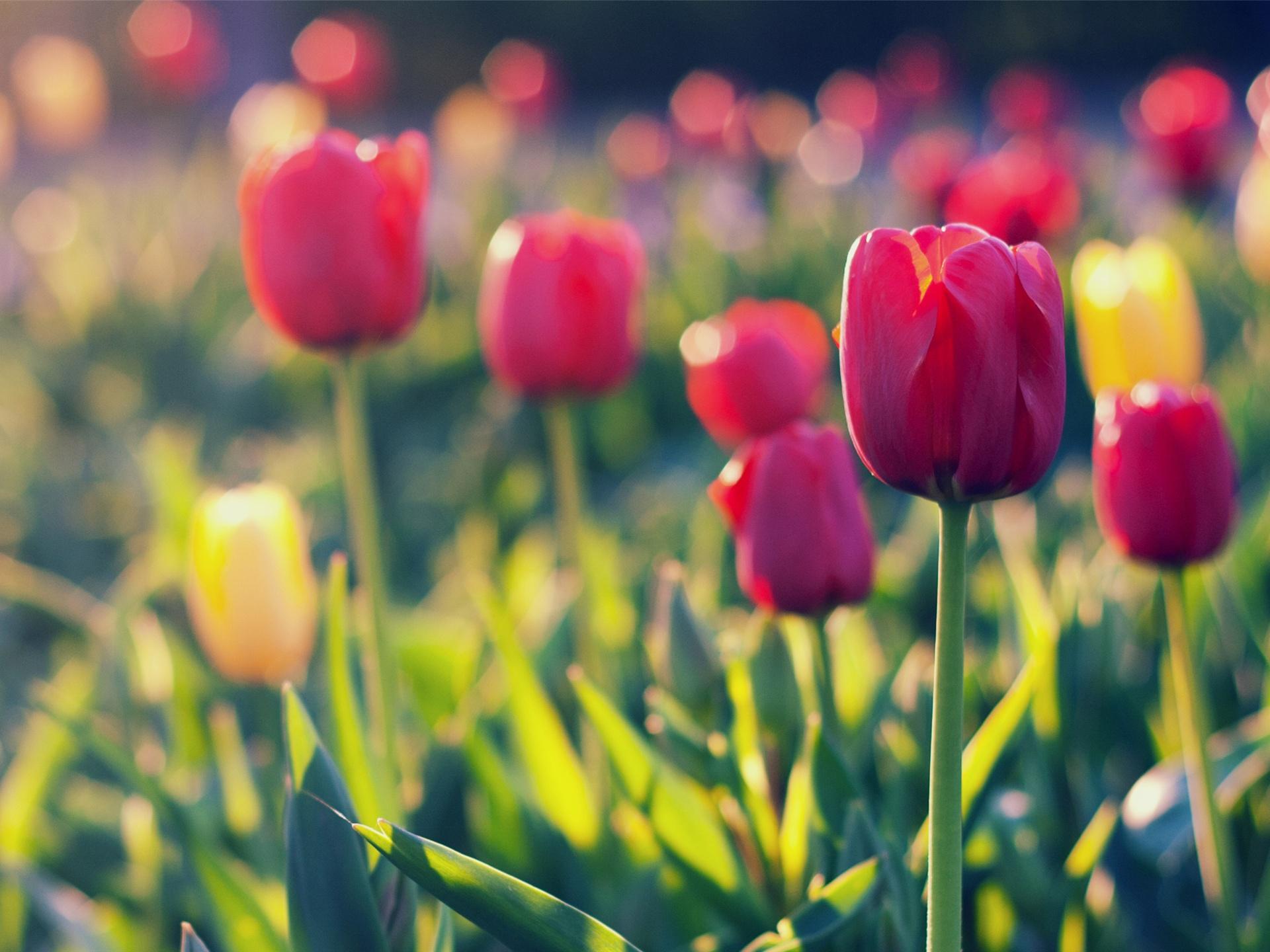 макро цветы красные природа тюльпаны  № 3286378 бесплатно