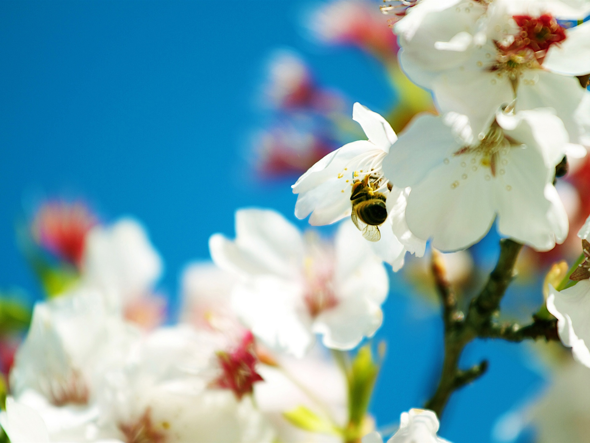 Bee And Snow-white Pear Flowers Wallpaper