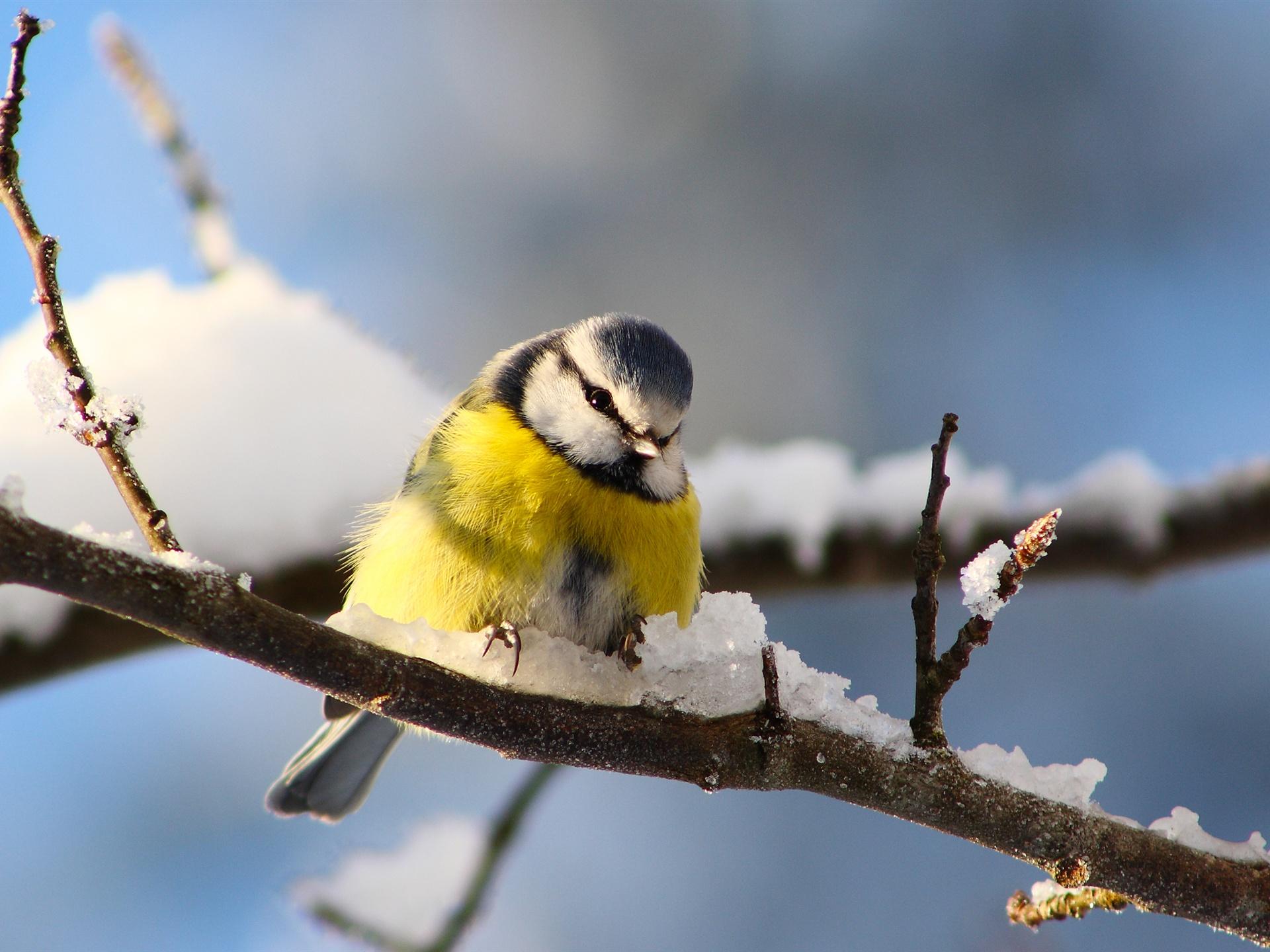 鸟类v鸟类,树枝,壁纸,冬天的雪山雀挖耳长捕虫图片