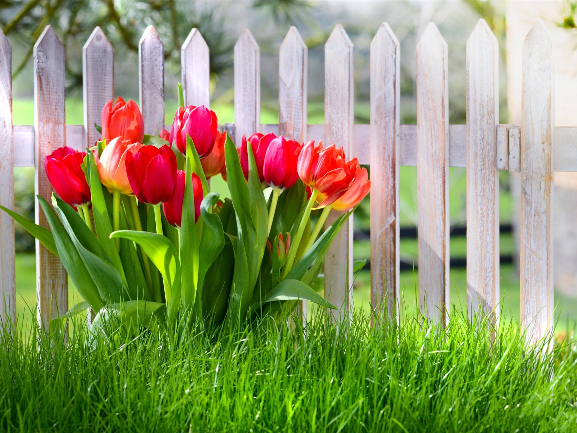 fr hlingsblumen rote tulpen garten gras. Black Bedroom Furniture Sets. Home Design Ideas