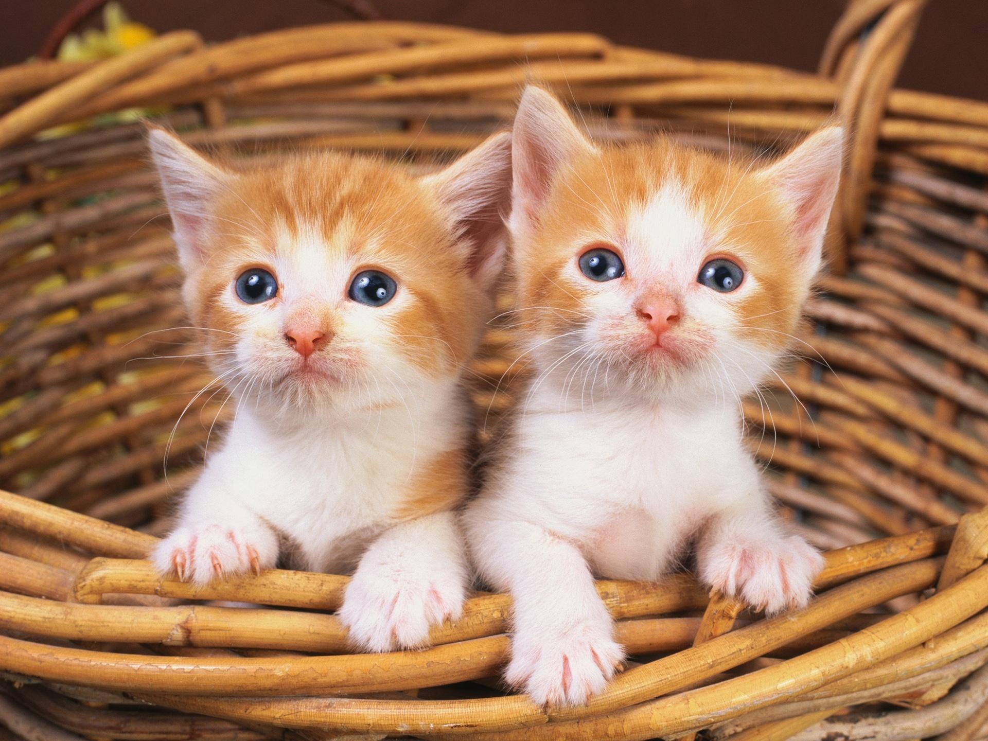 сможете обои на рабочий стол два котенка леонов