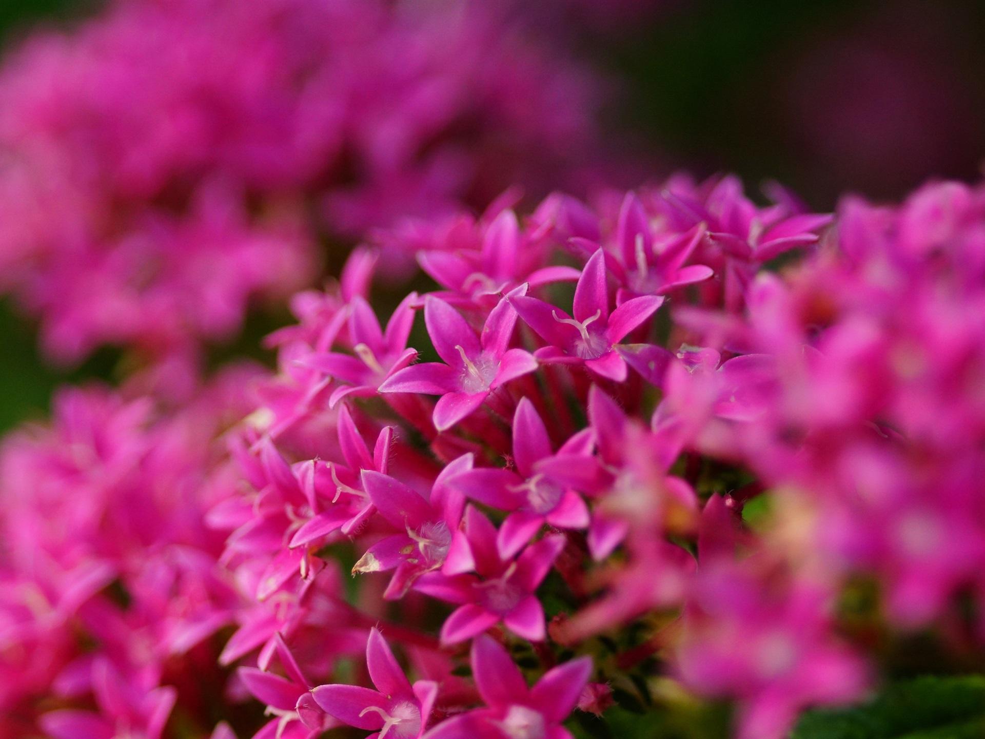 16 Luxury Pubg Wallpaper Iphone 6: 壁紙 Pentasツルニンジン、ピンクの花 2560x1600 HD 無料の