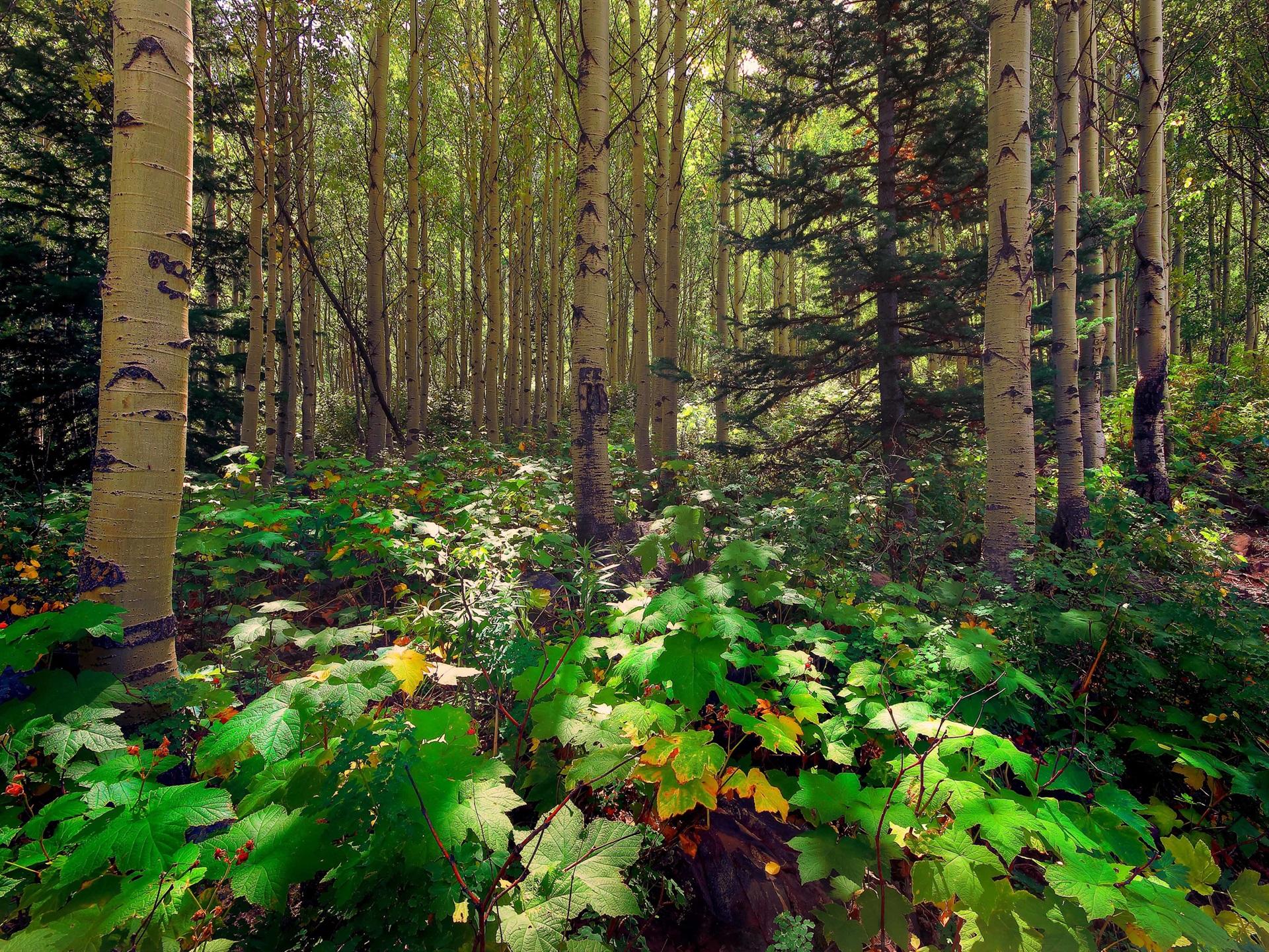 Forest trees aspen pine sunlight leaves wallpaper 1920x1440