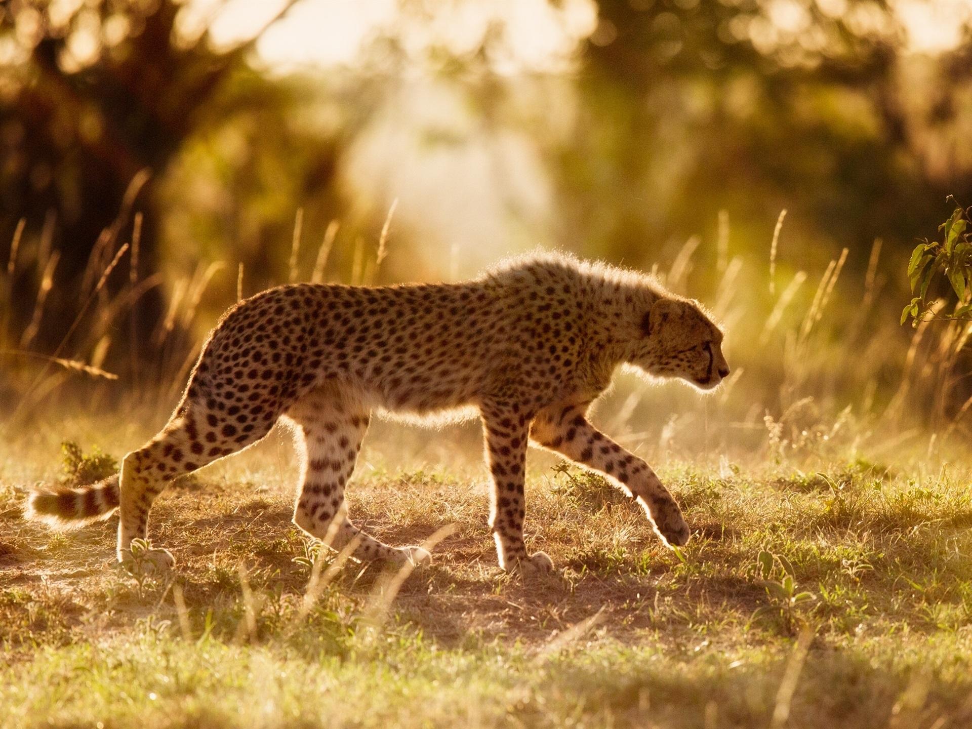 это картинки гепардов к кошек делимся вопросами