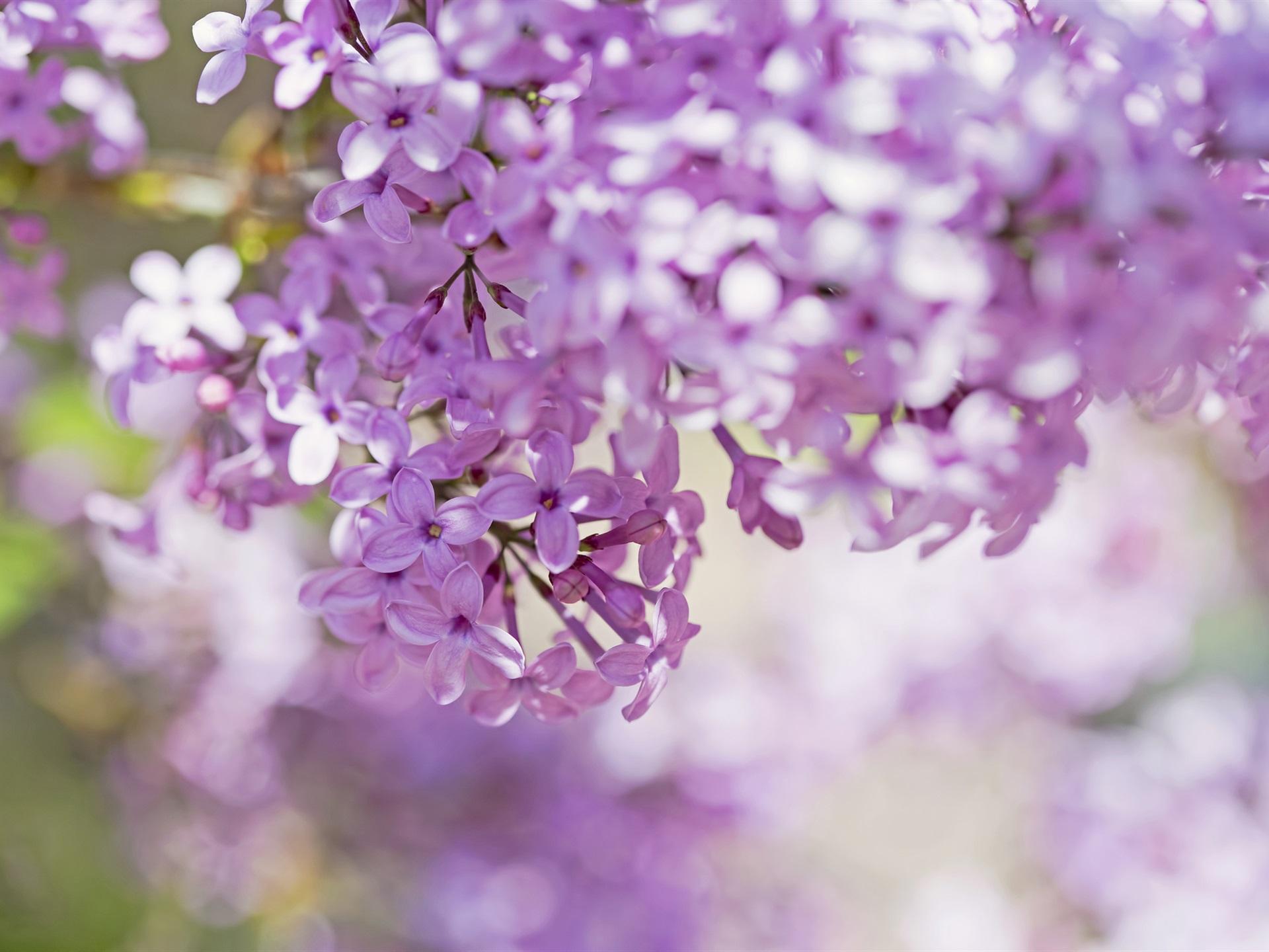 Lila Rosa Blüten Blumen Zweigen Bokeh 1920x1440 Hd