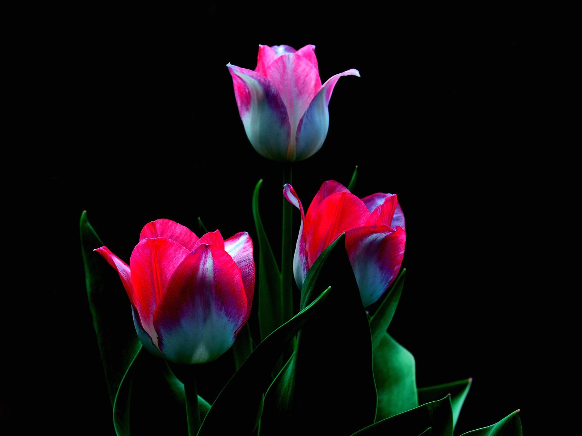 Drei rosa Tulpen Blumen, Stängel, Blätter, schwarzer Hintergrund ...