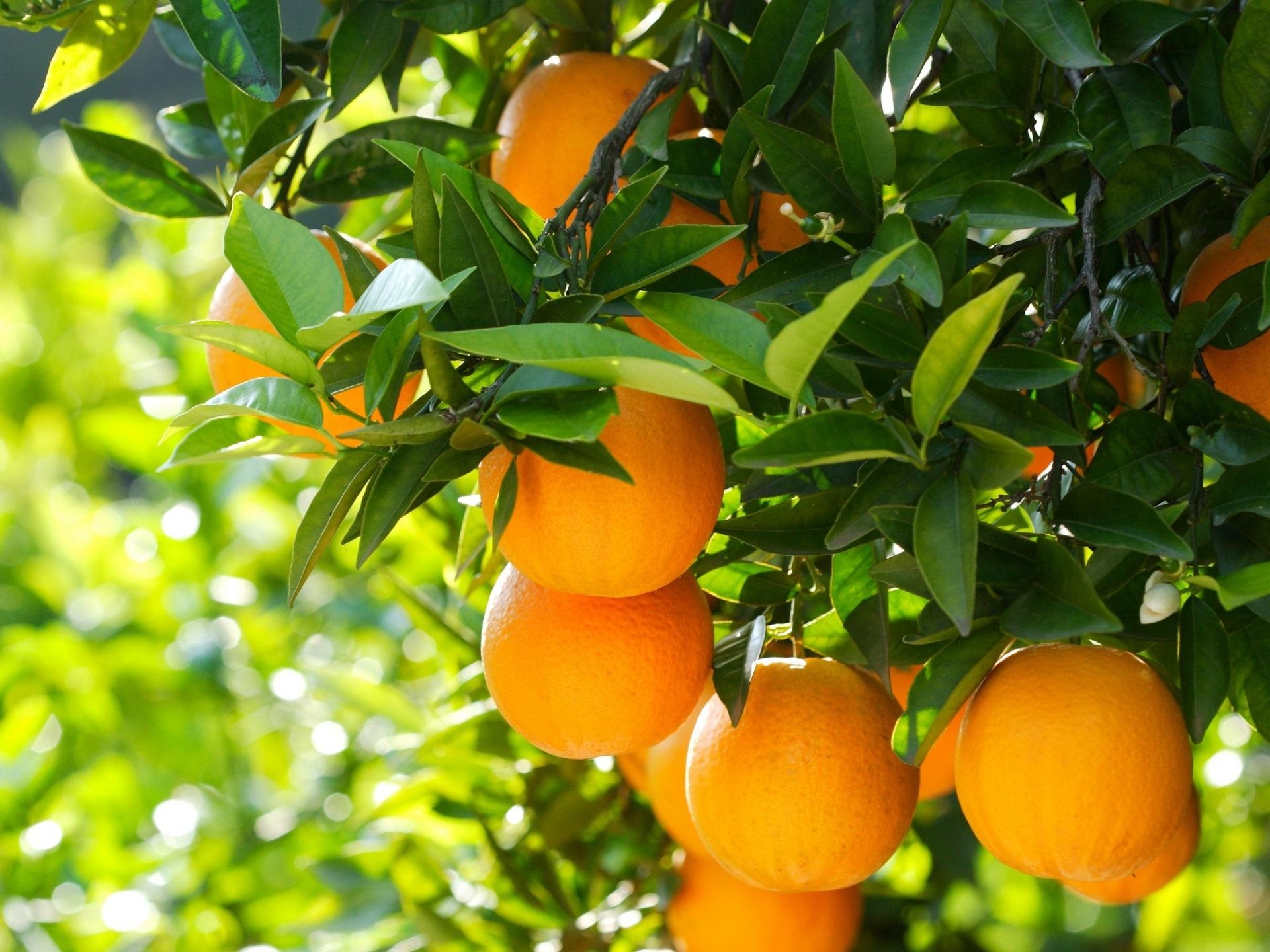 Обои для рабочего стола апельсины и мандарины