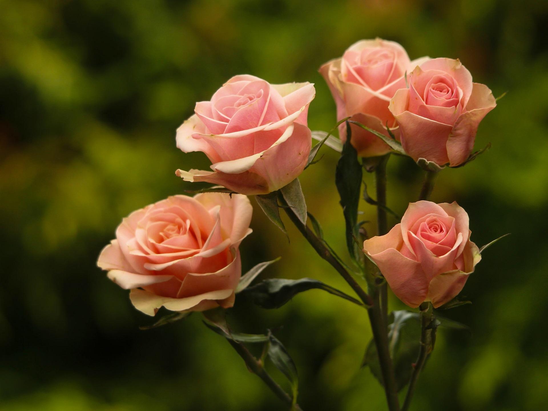 Розы картинки обои для рабочего стола
