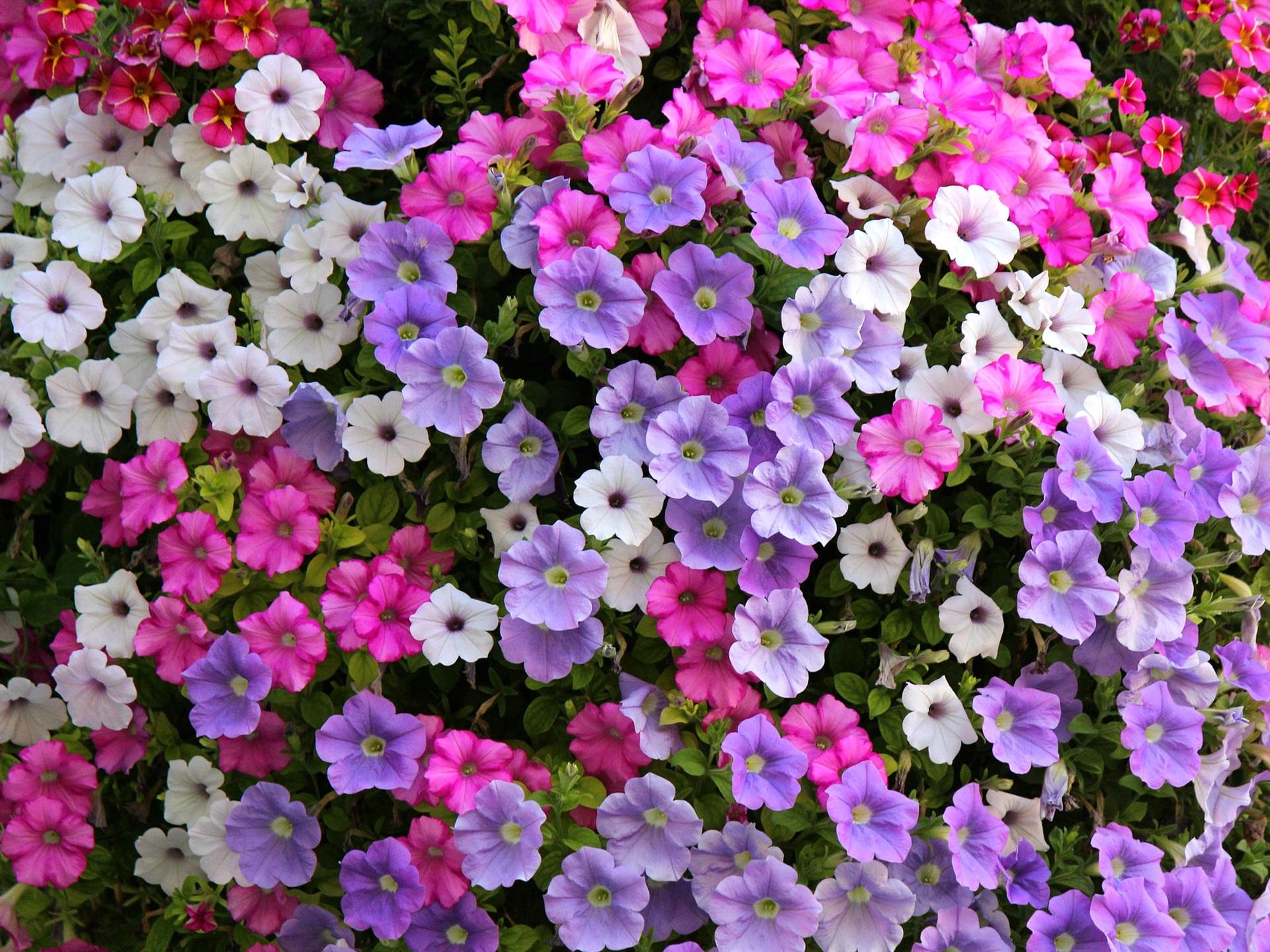 Fondo De Pantalla Flores Blancas En Fondo Rosa: Fondos De Pantalla Flores De Petunia, Blanco, Morado, Rosa