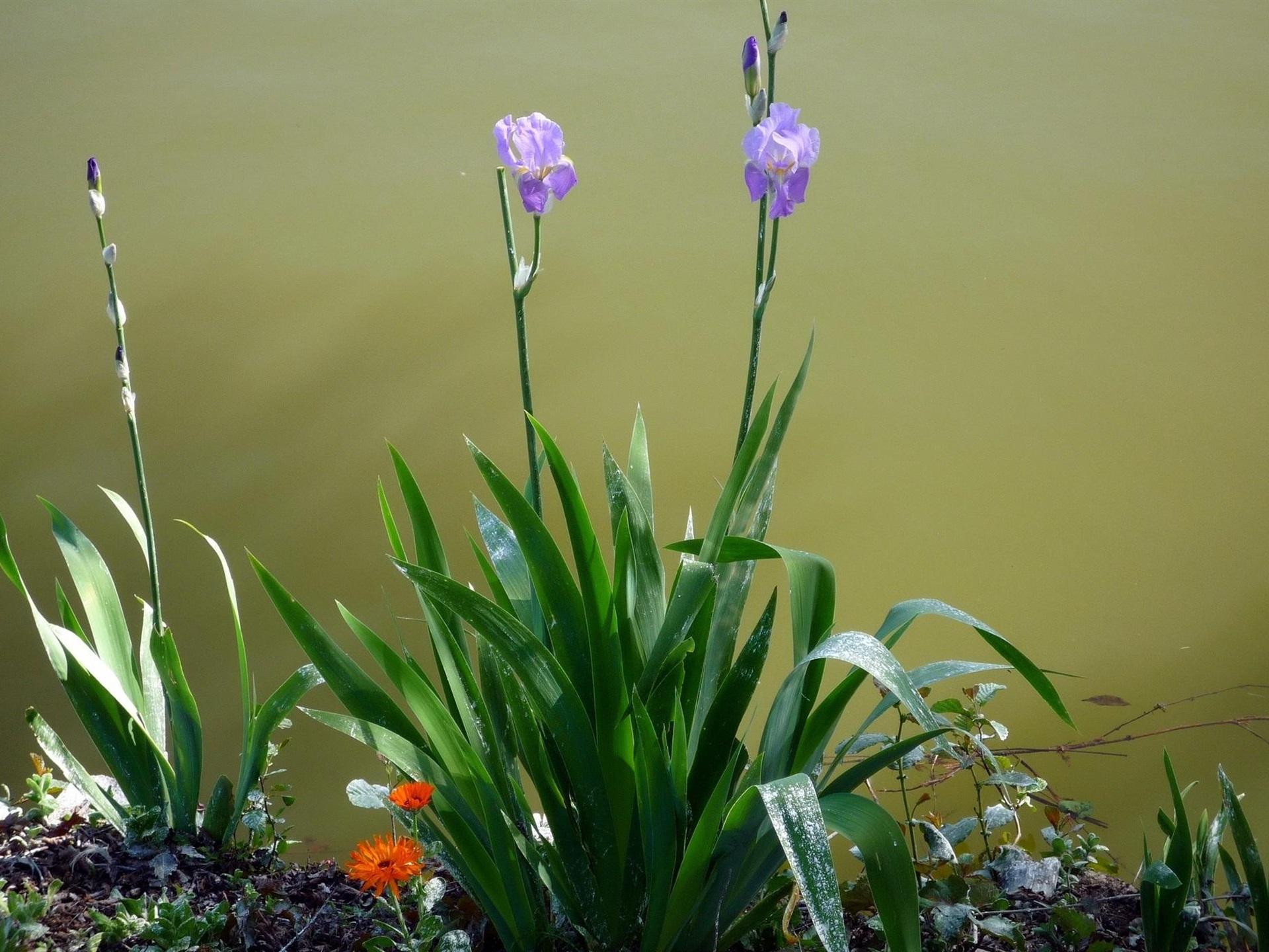 Fondos De Pantalla Iris Flores Moradas Hojas Verdes 1920x1440 Hd Imagen