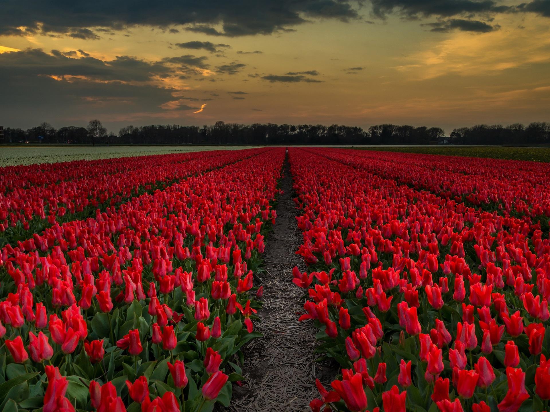 увенчались картинка гиф поле тюльпанов границы для печати
