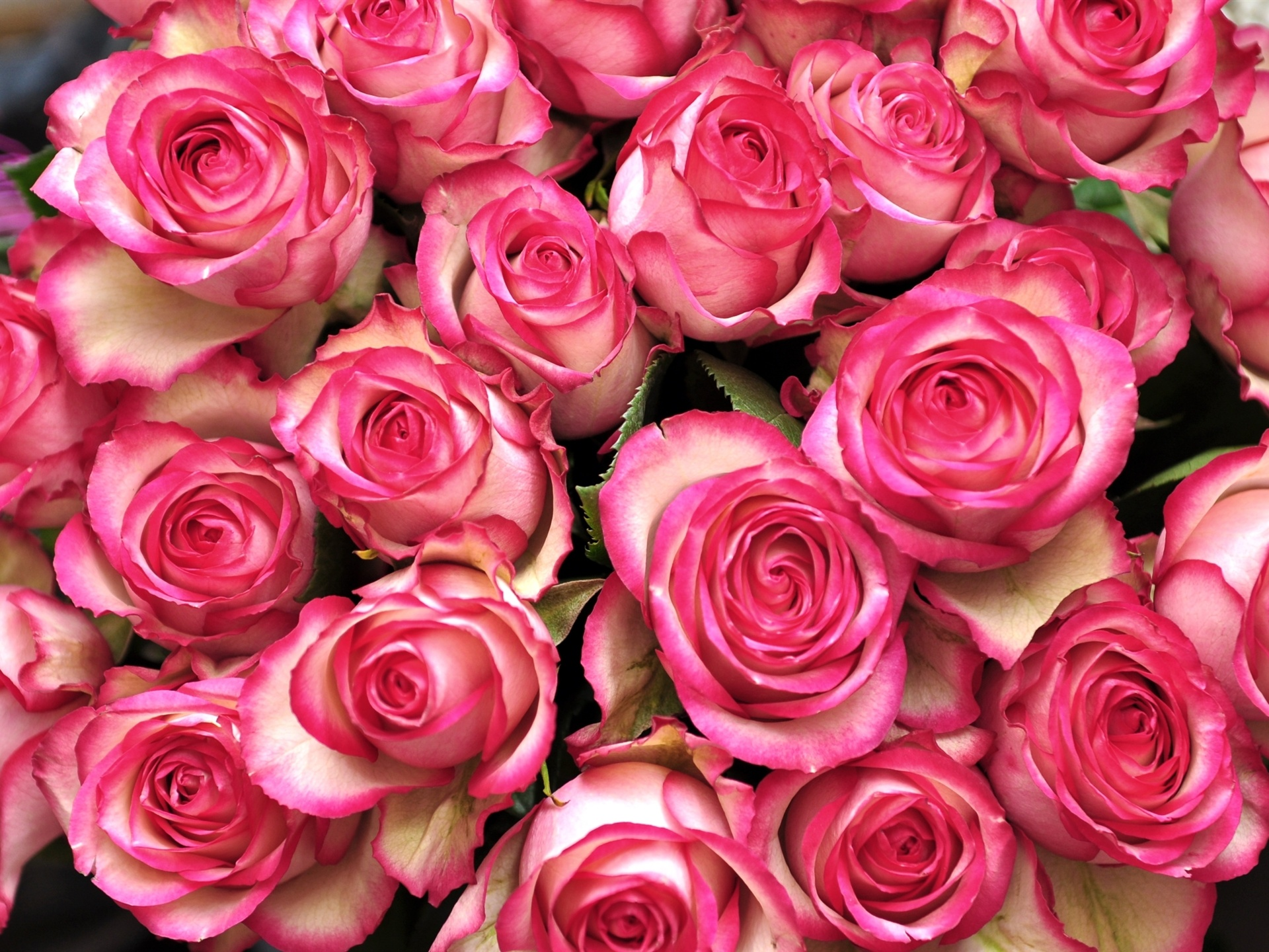 Розы картинки большие размеры, новым