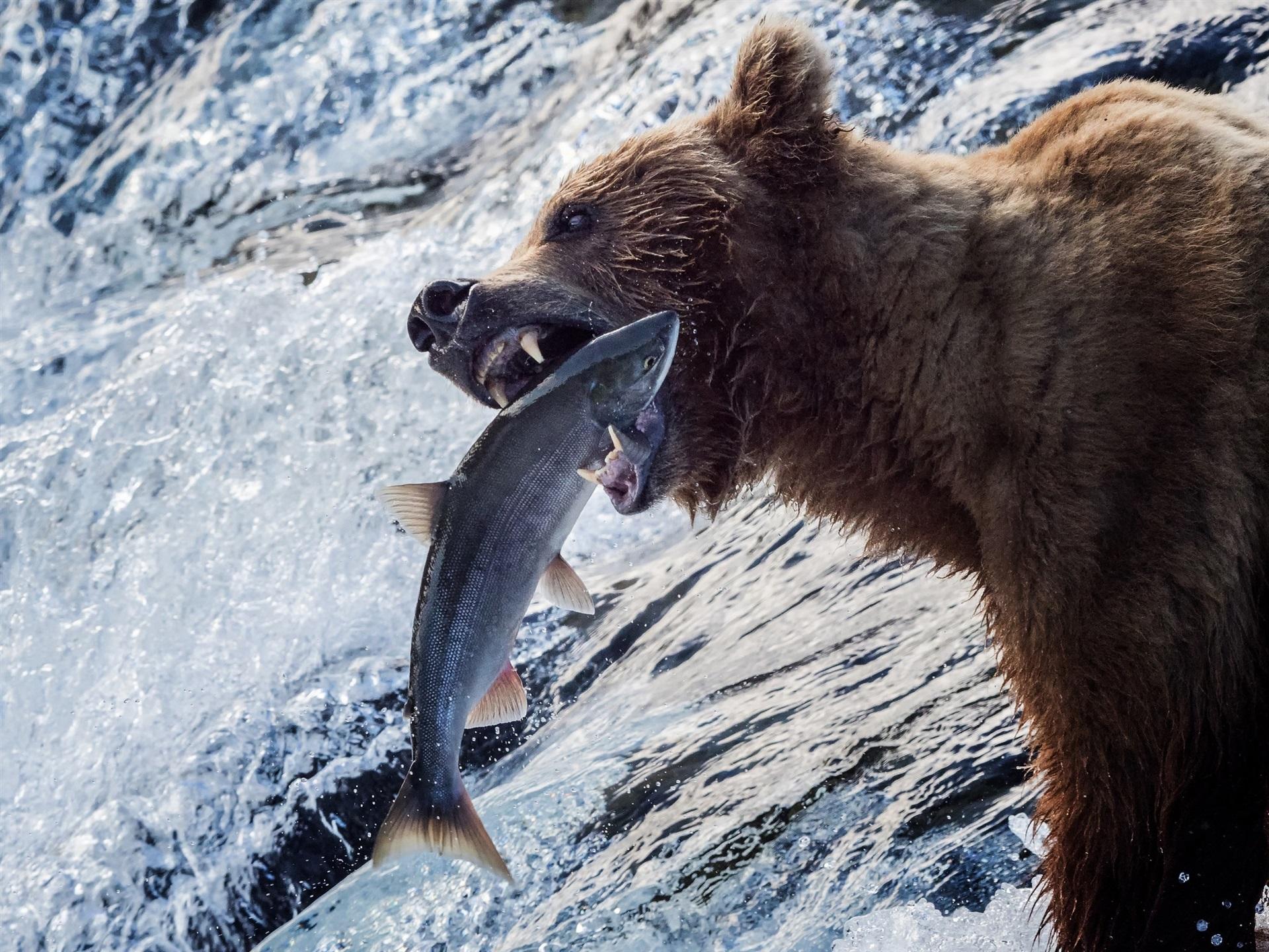 Alaskan Brown Bear Silhouetted Against Mount Katolinat, Alaska бесплатно
