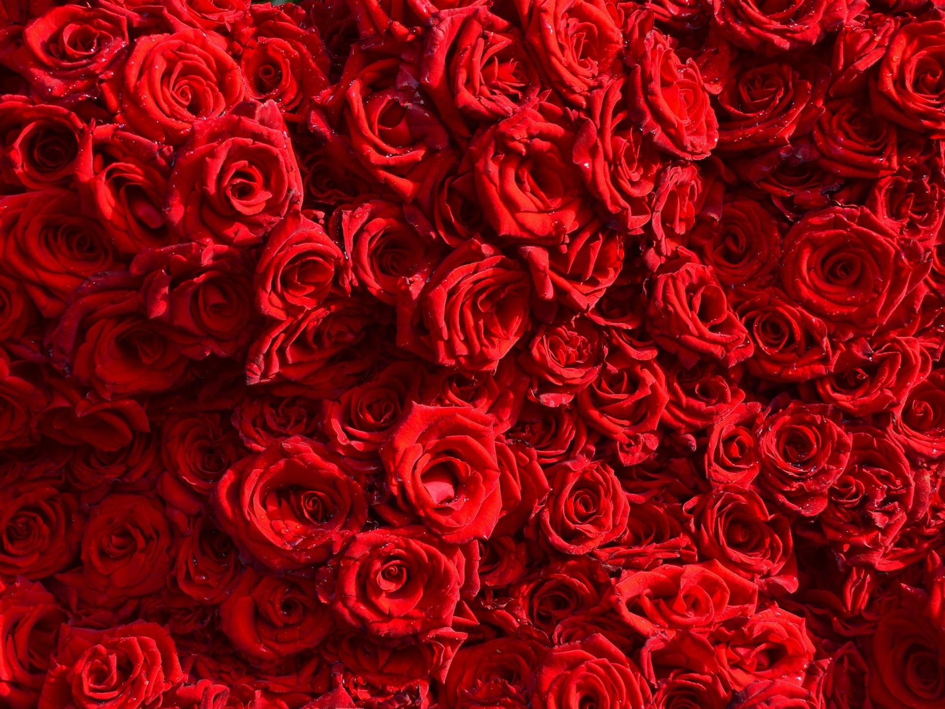 Fondos De Pantalla Fondo De Muchas Rosas Rojas Gotas De Agua
