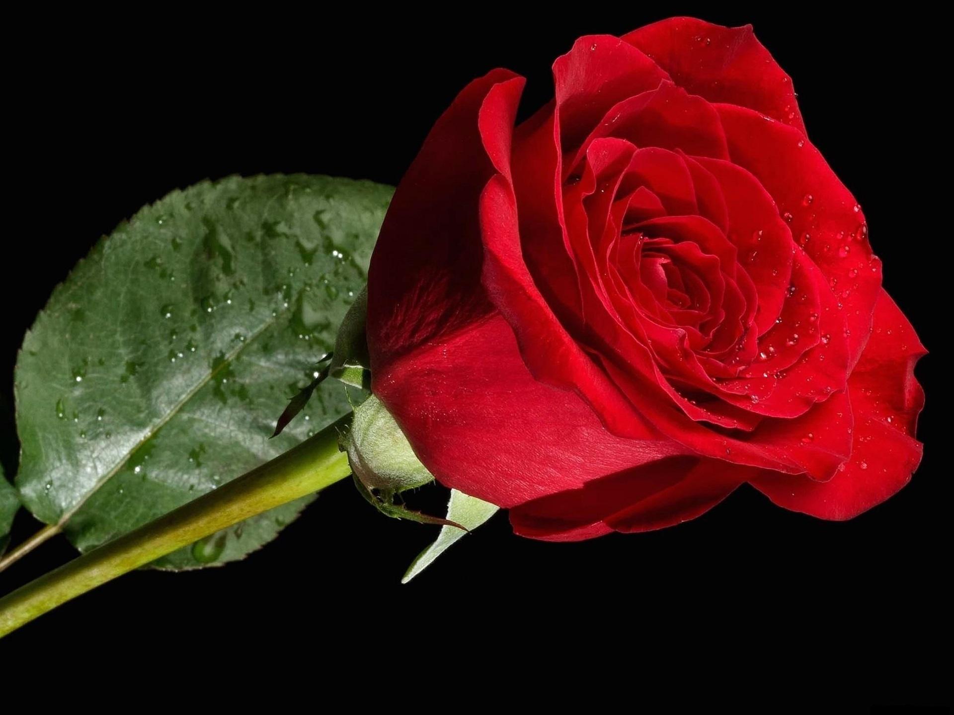 Wallpaper Single Red Rose Flower Water Drops 1920x1200 Hd: Wallpaper One Red Rose, Water Drops, Black Background