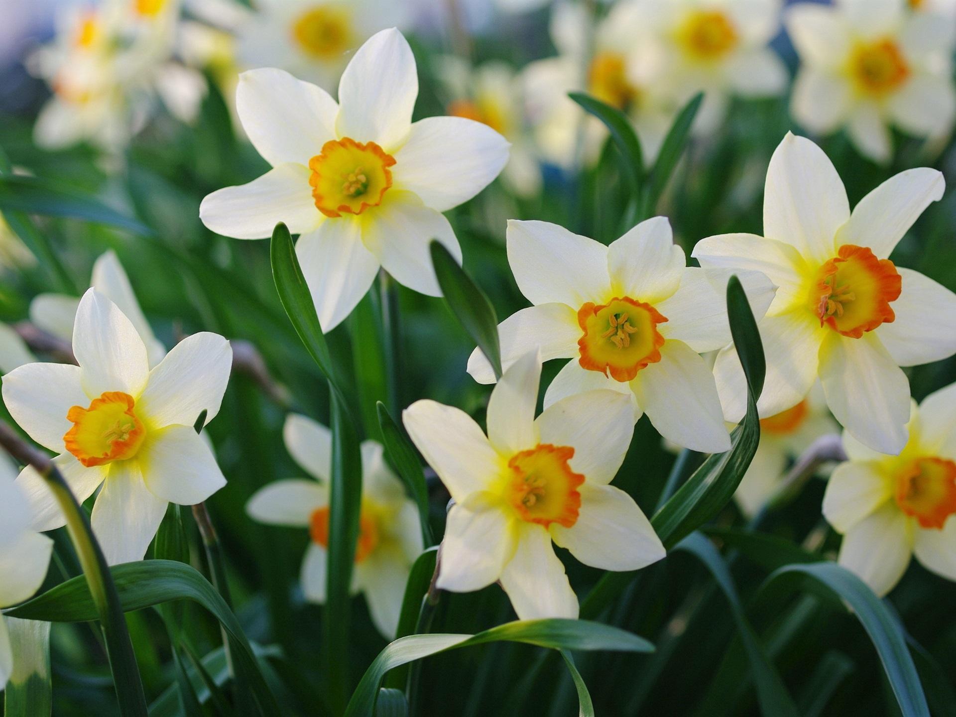 Картинки цветы красивые нарциссы