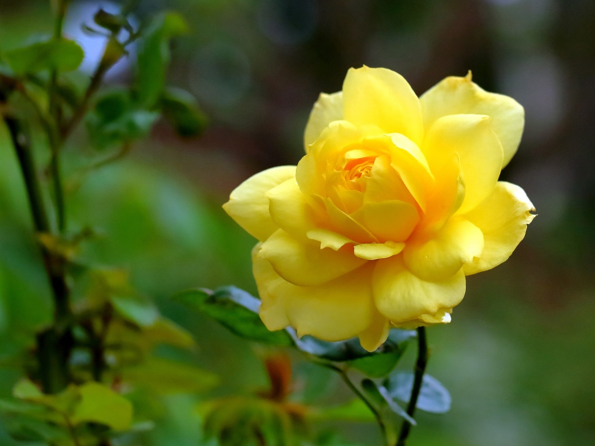 Pap is de parede rosa amarela close up p talas flor - Yellow rose images hd ...