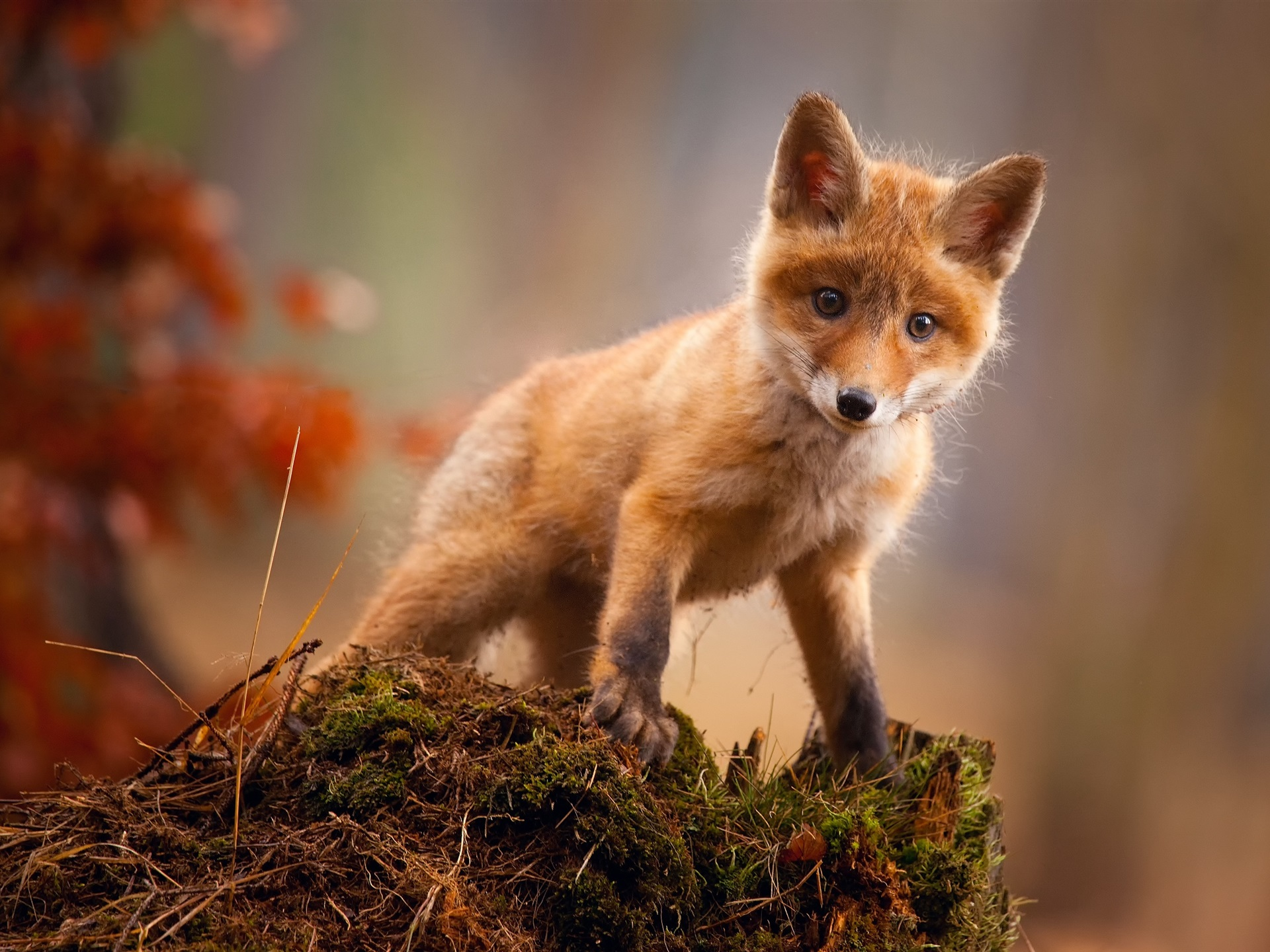 Cute red fox look at you 750x1334 iPhone 8/7/6/6S ...