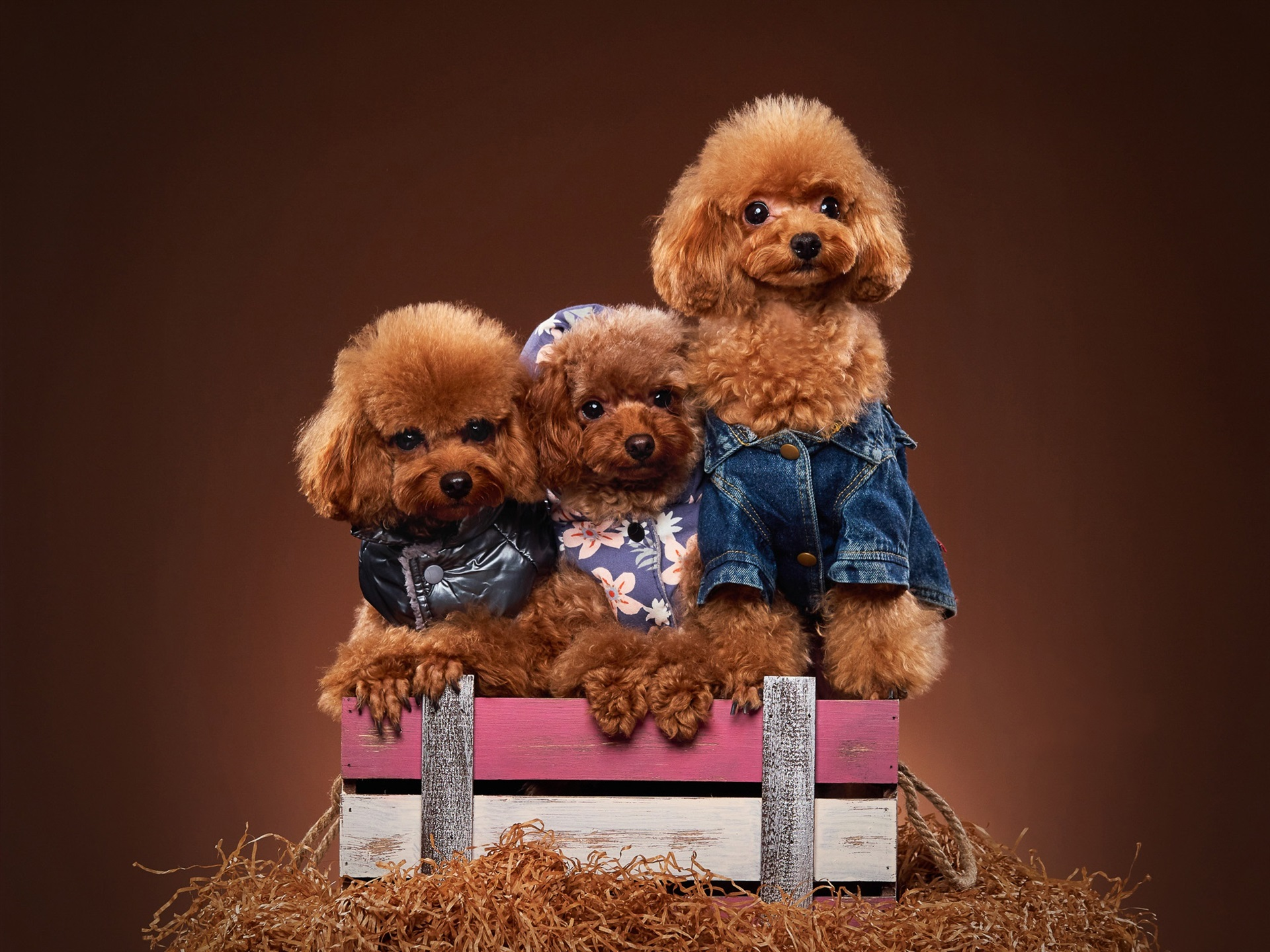 Wallpaper Three Poodles Puppies 1920x1440 Hd Picture Image