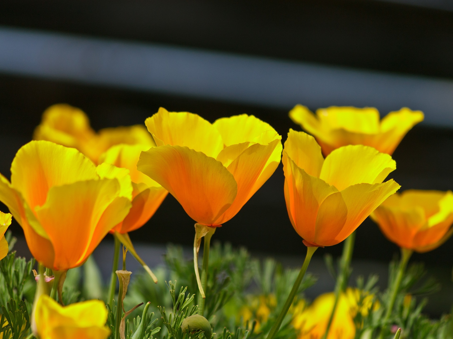 Wallpaper Yellow Poppies Spring Flowers 1920x1440 Hd Picture Image