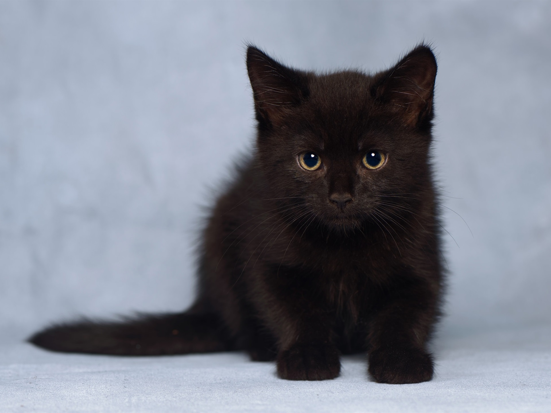 Wallpaper Cute Furry Black Kitten 1920x1440 Hd Picture Image