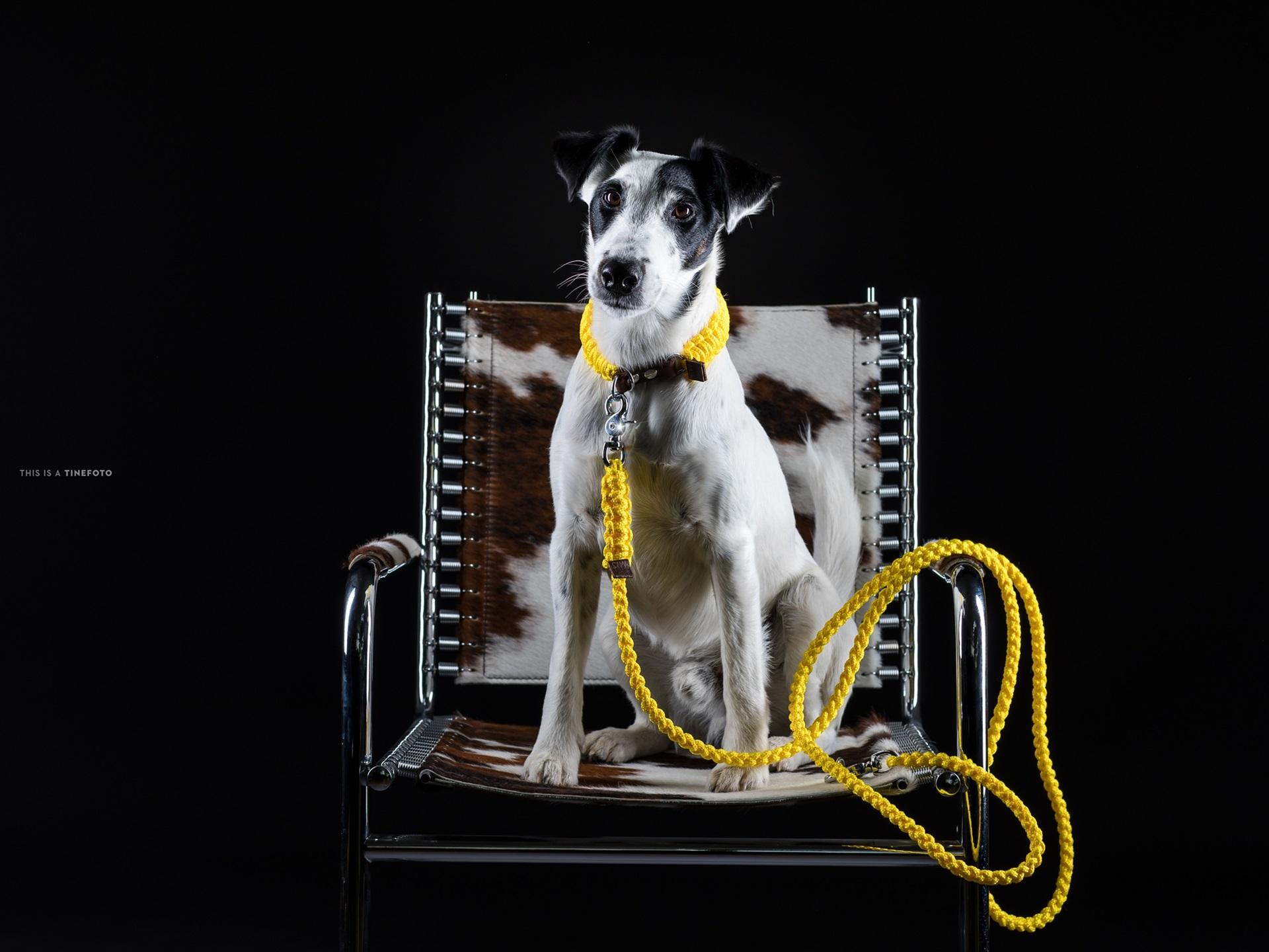 Hund Sitzen Auf Stuhl Schwarzer Hintergrund 1920x1440 Hd