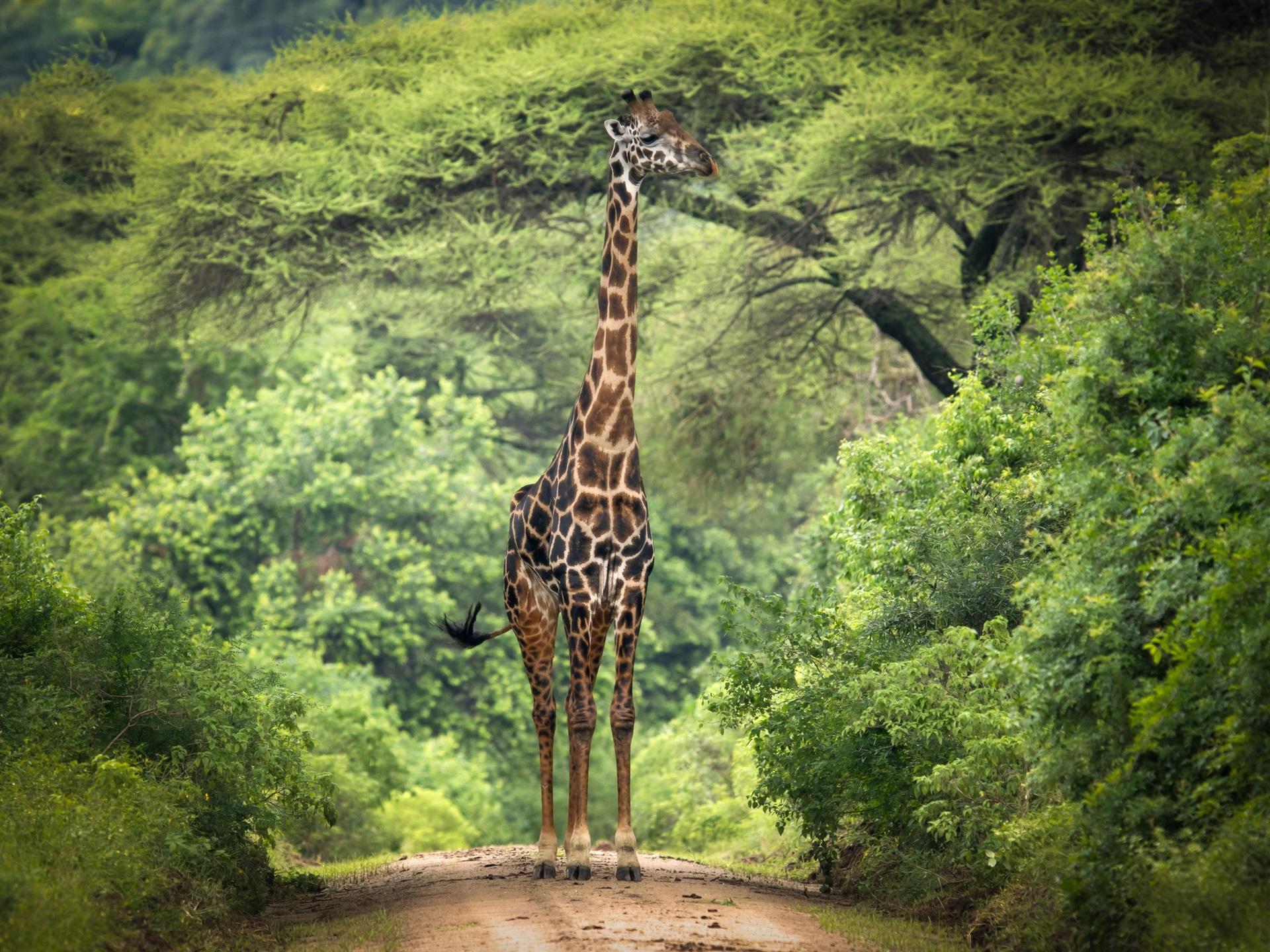 Fondos De Pantalla De Jirafas: Jirafa, árboles, África Fondos De Pantalla