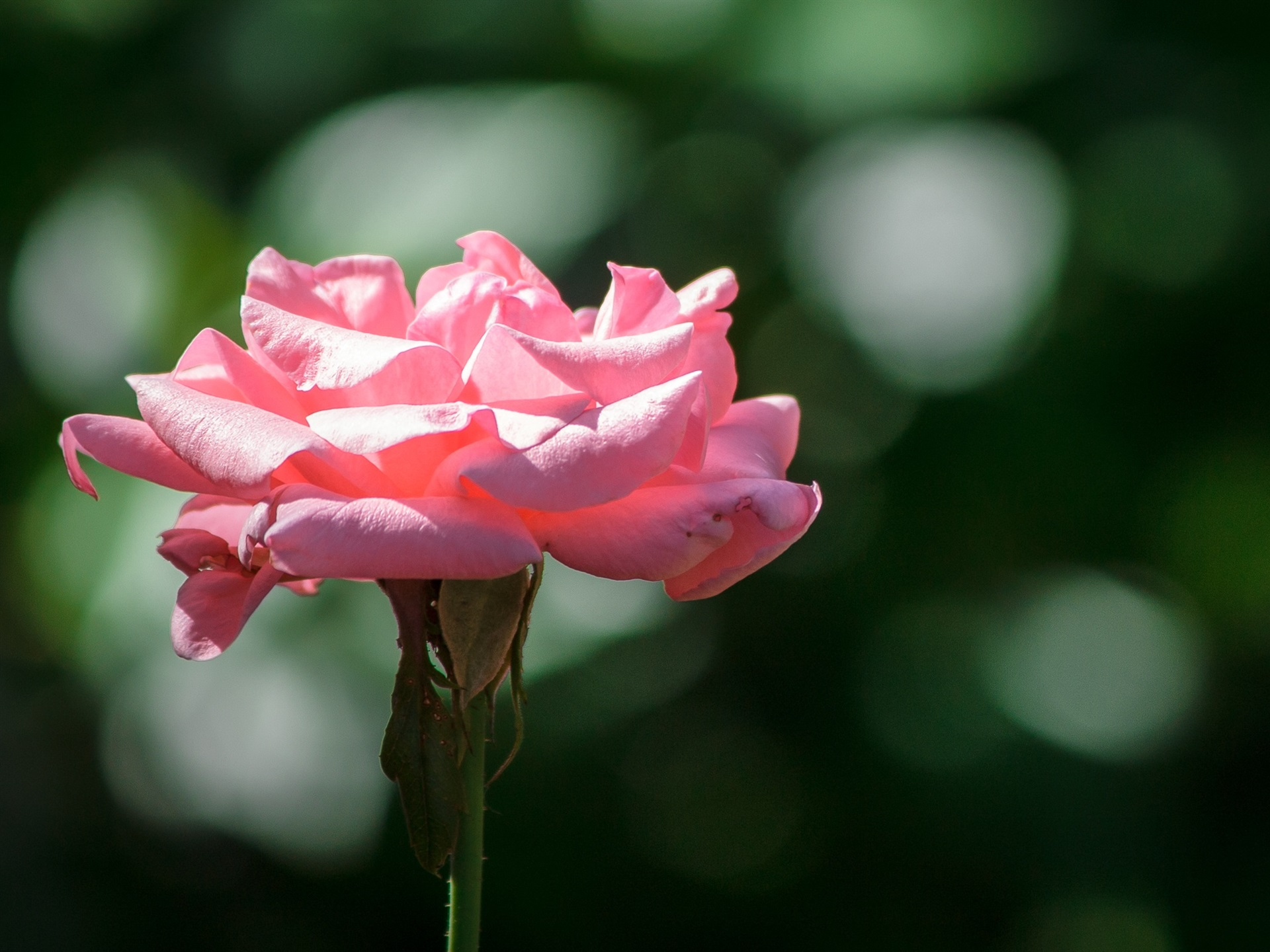 Wallpaper Pink Rose, Petals, Sunshine 1920x1440 HD Picture