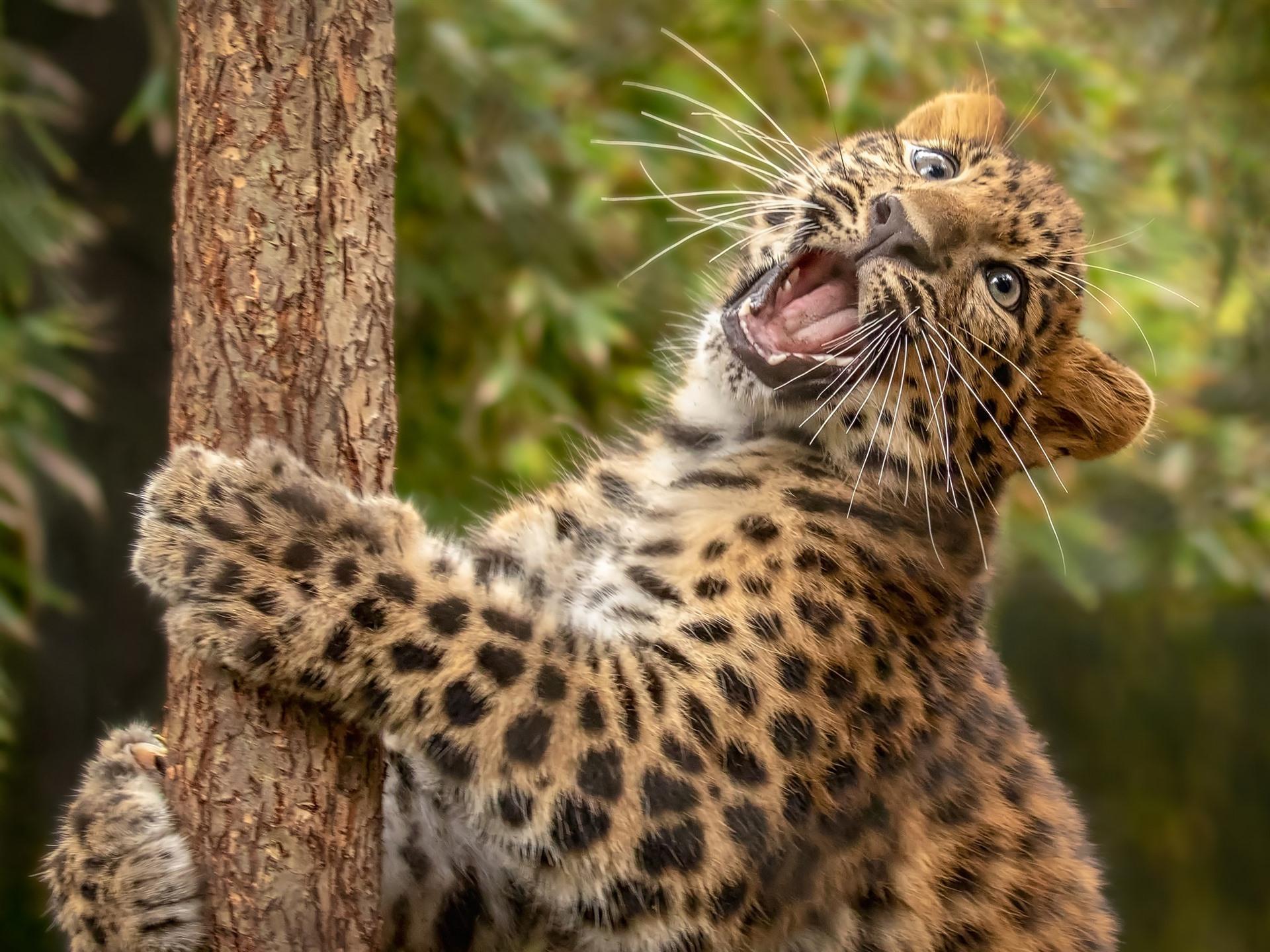 Leopard roar wallpaper